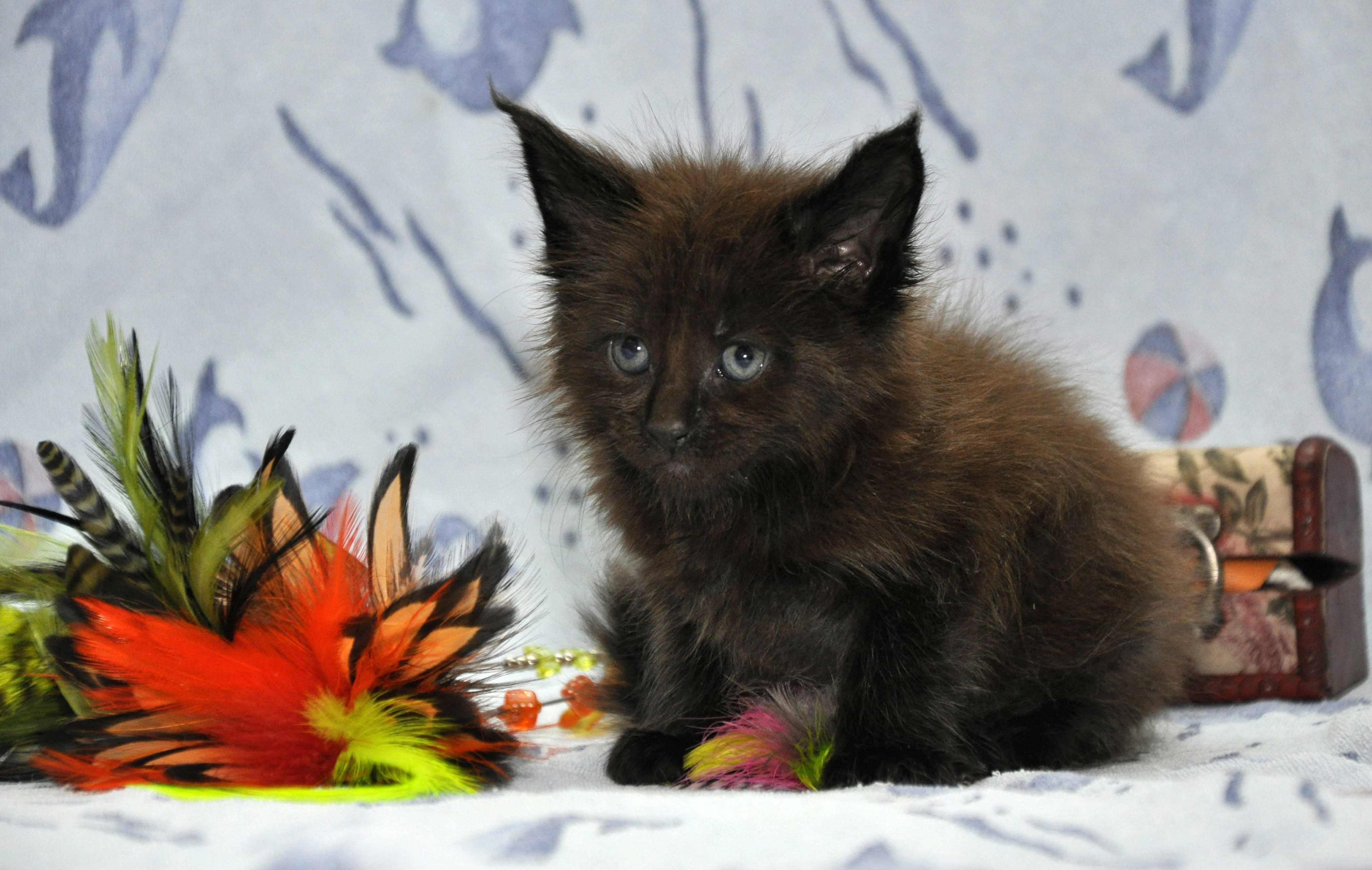 Кот Мейн Кун 2 (male) Eyktan QUANTUM фото 3