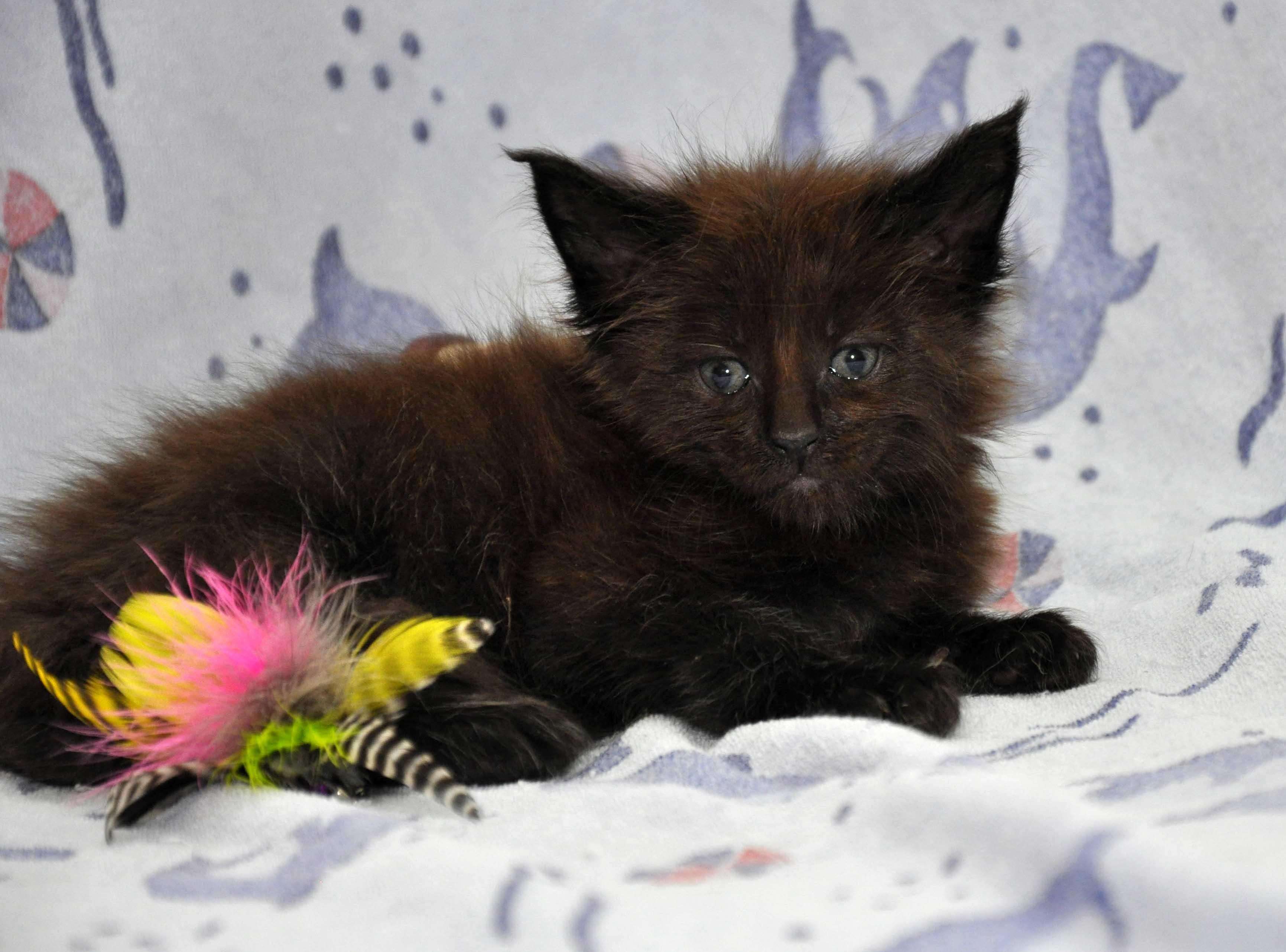 Кот Мейн Кун 2 (male) Eyktan QUANTUM фото 4