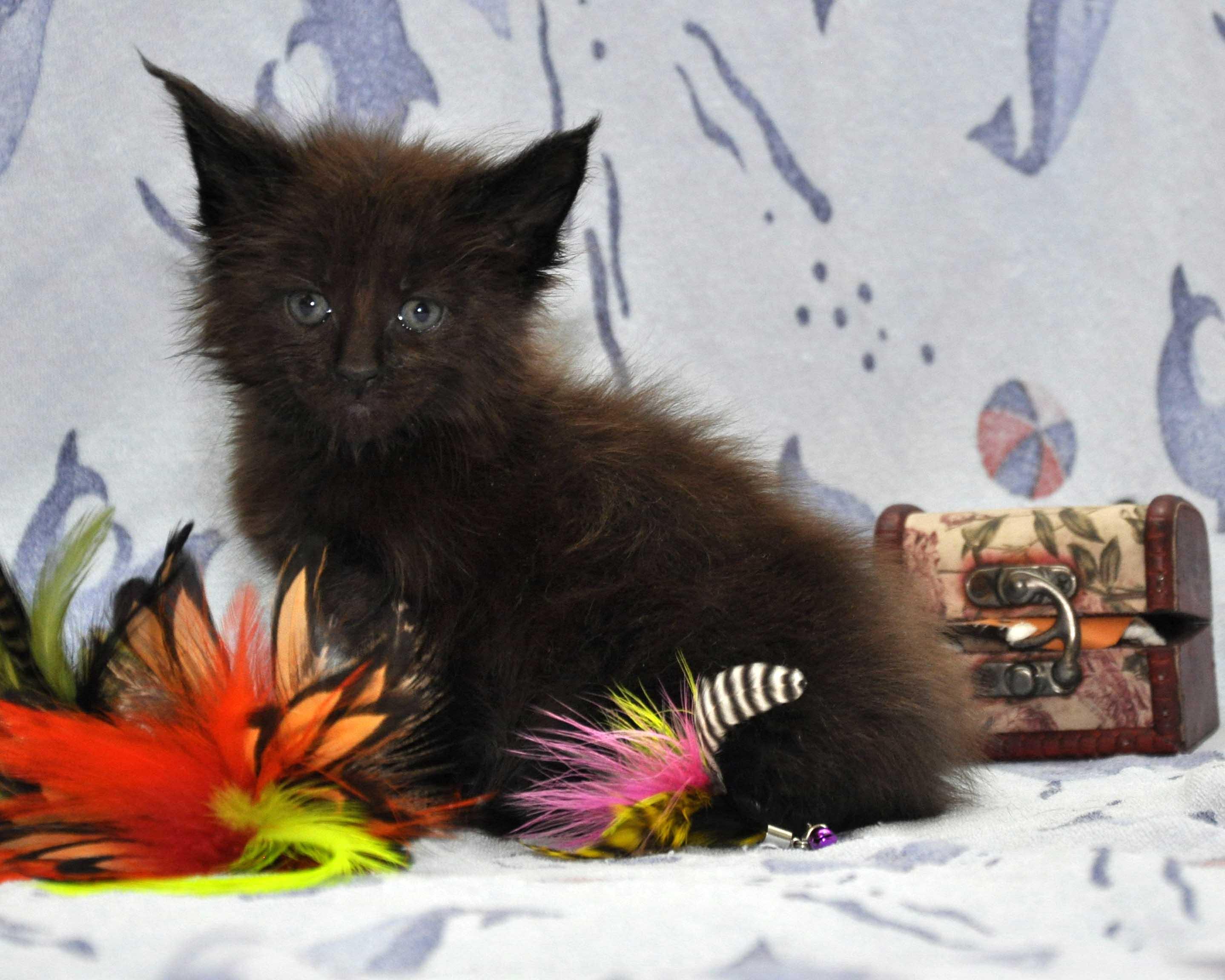 Кот Мейн Кун 2 (male) Eyktan QUANTUM фото 5