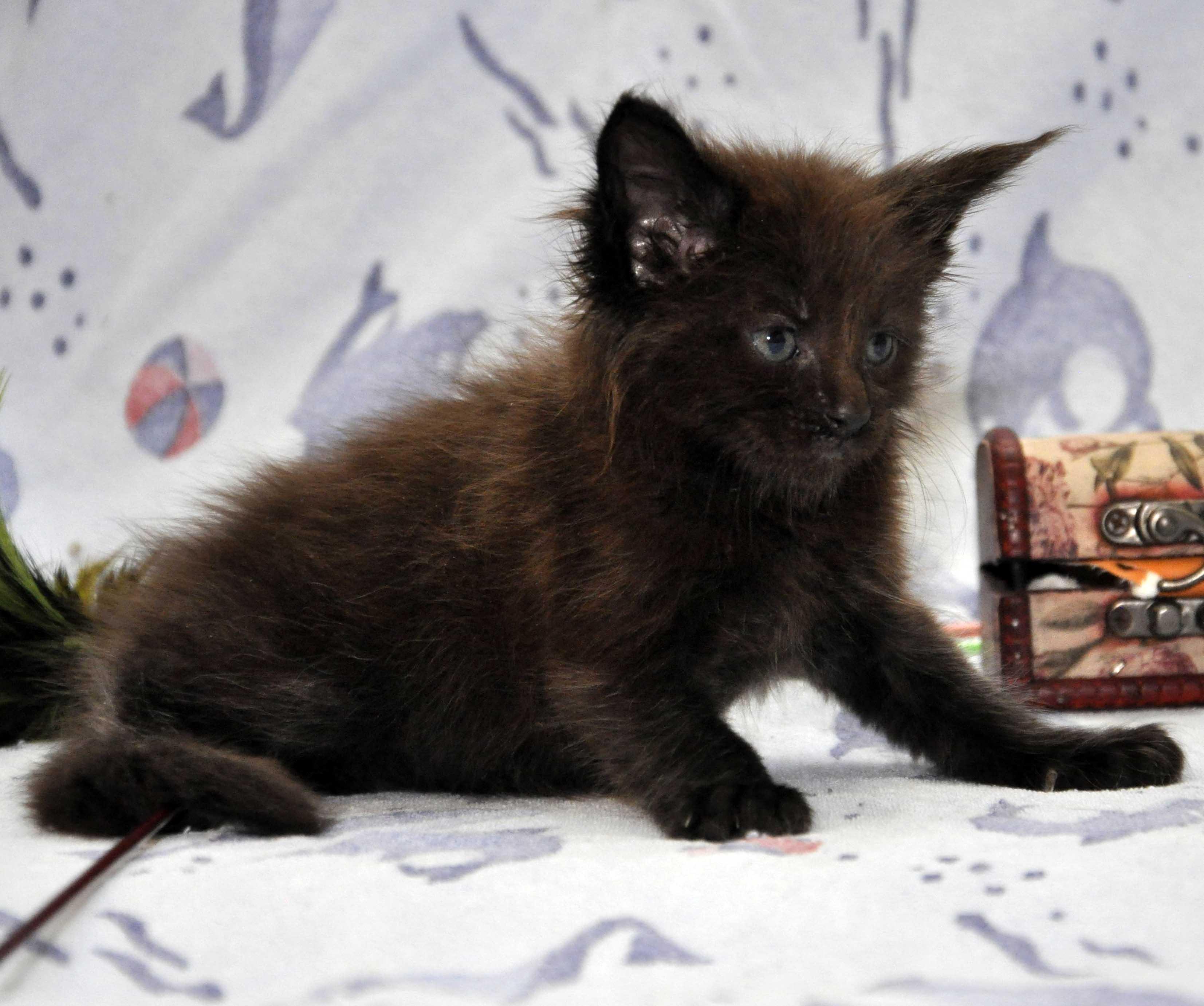 Кот Мейн Кун 2 (male) Eyktan QUANTUM фото 6