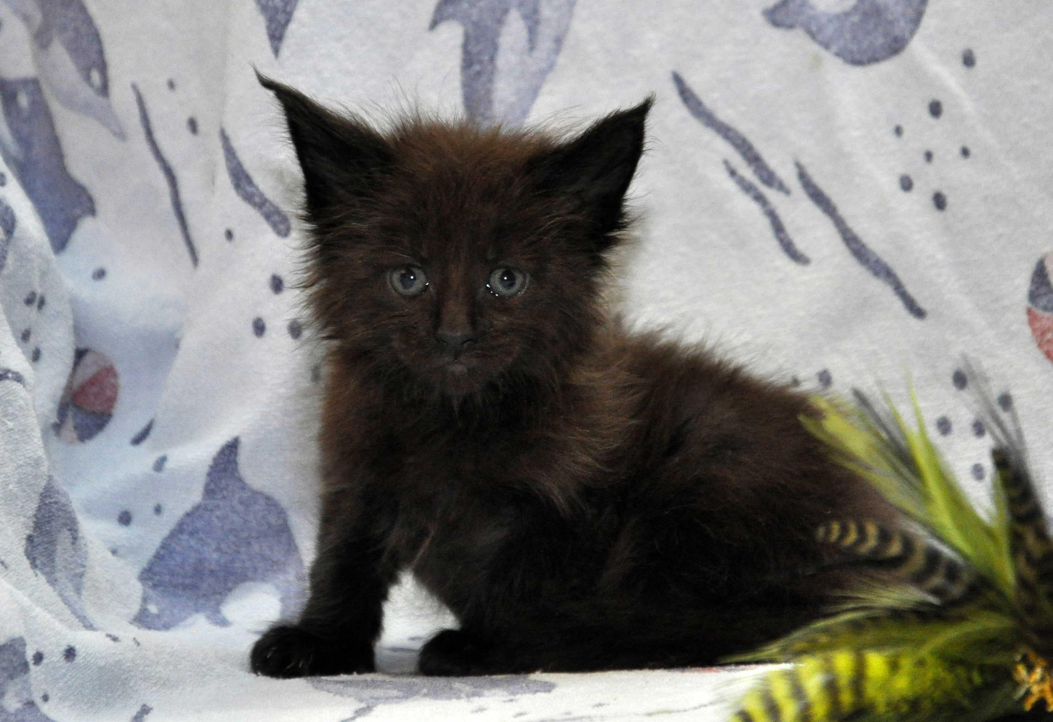 Кот Мейн Кун 2 (male) Eyktan QUANTUM фото 7
