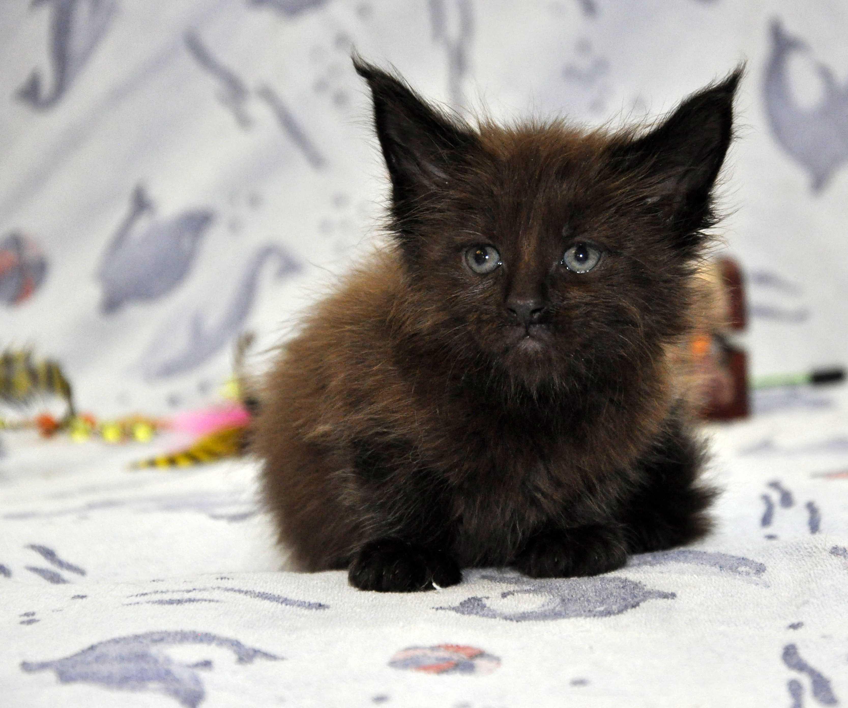 Кот Мейн Кун 2 (male) Eyktan QUANTUM фото 8