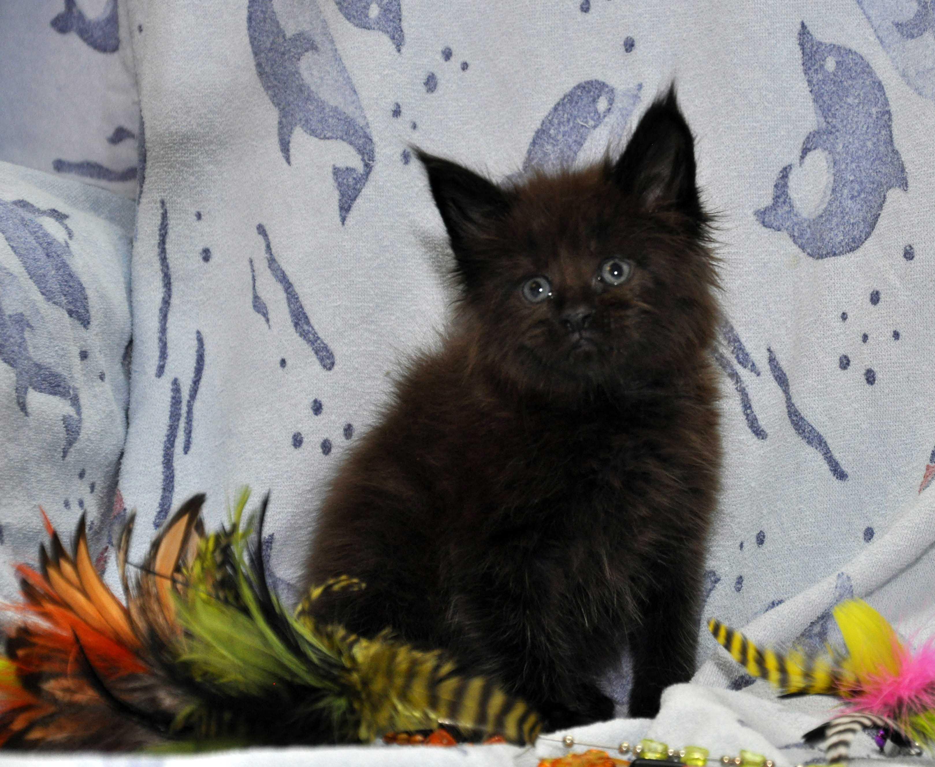 Кот Мейн Кун 3 (male) Eyktan QUAKE фото 1