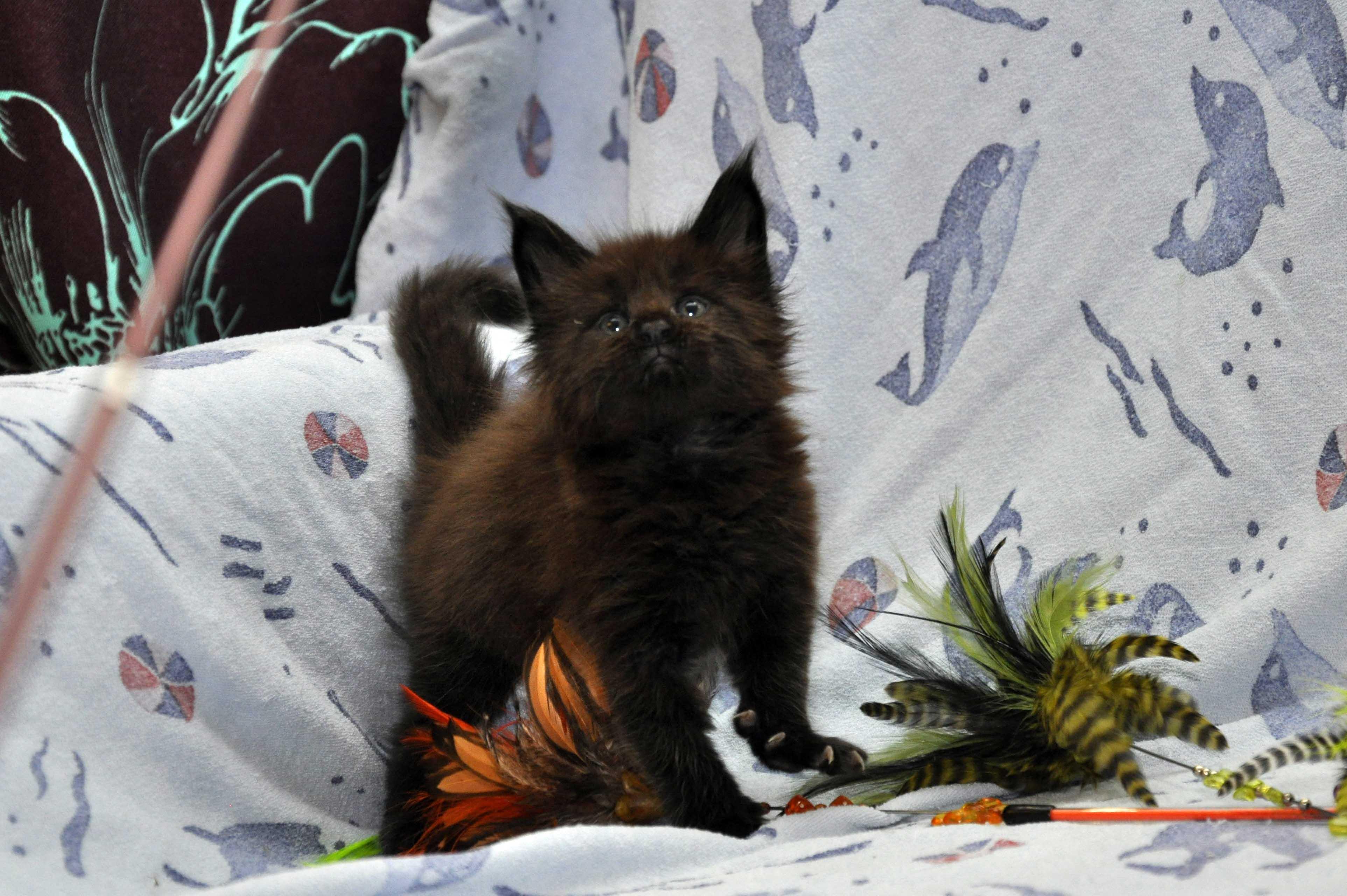 Кот Мейн Кун 3 (male) Eyktan QUAKE фото 10