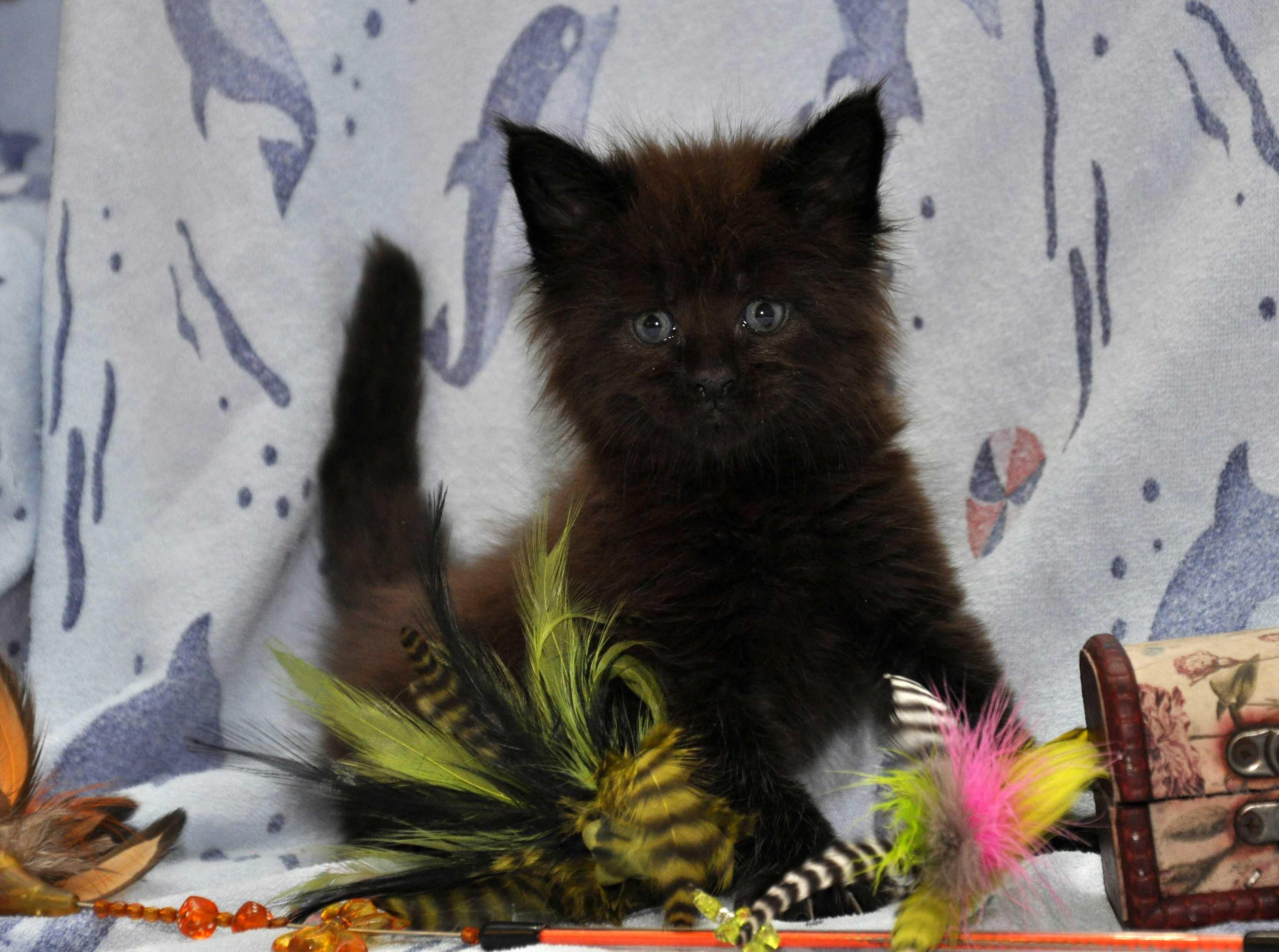 Кот Мейн Кун 3 (male) Eyktan QUAKE фото 5