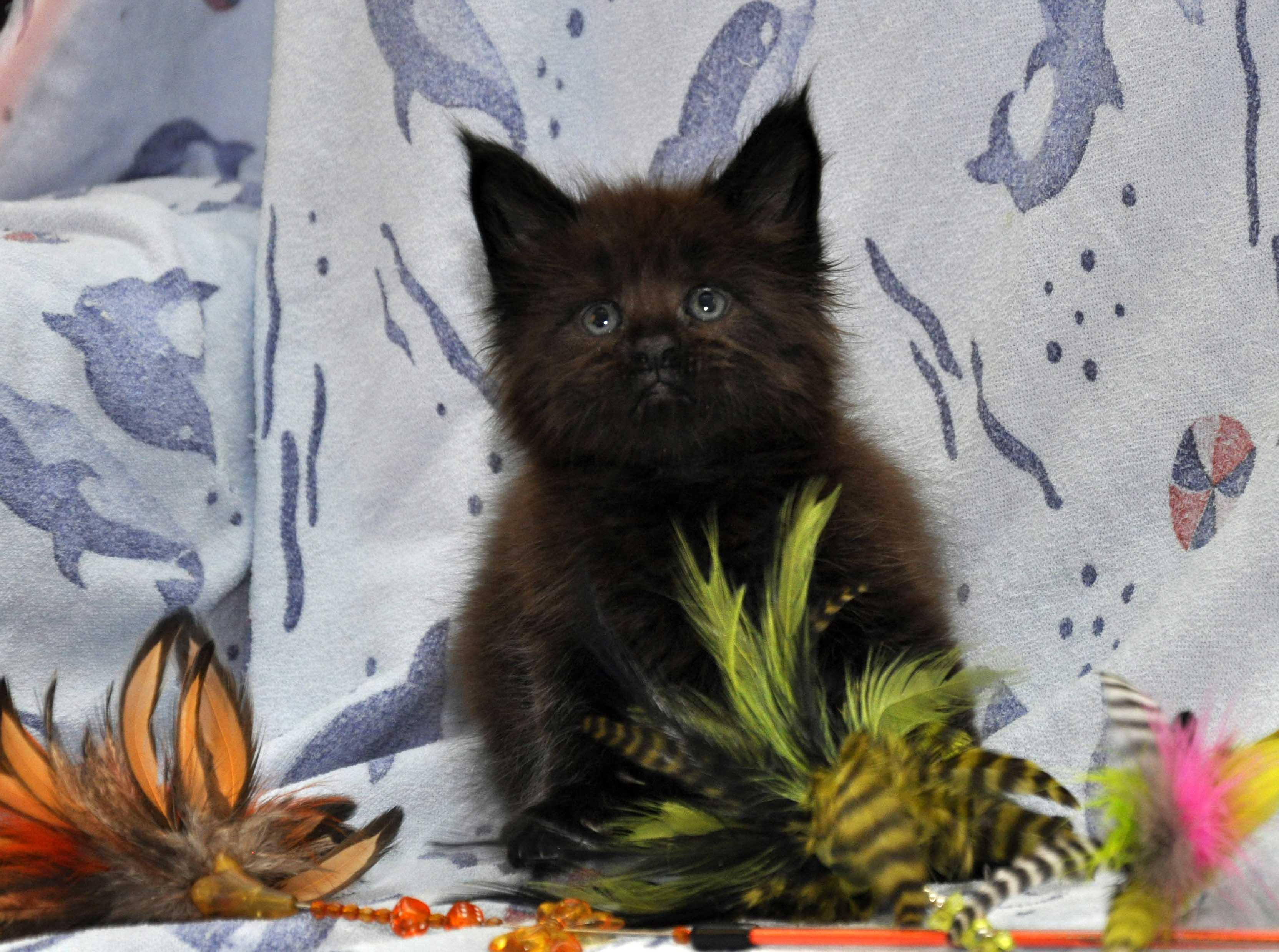 Кот Мейн Кун 3 (male) Eyktan QUAKE фото 7