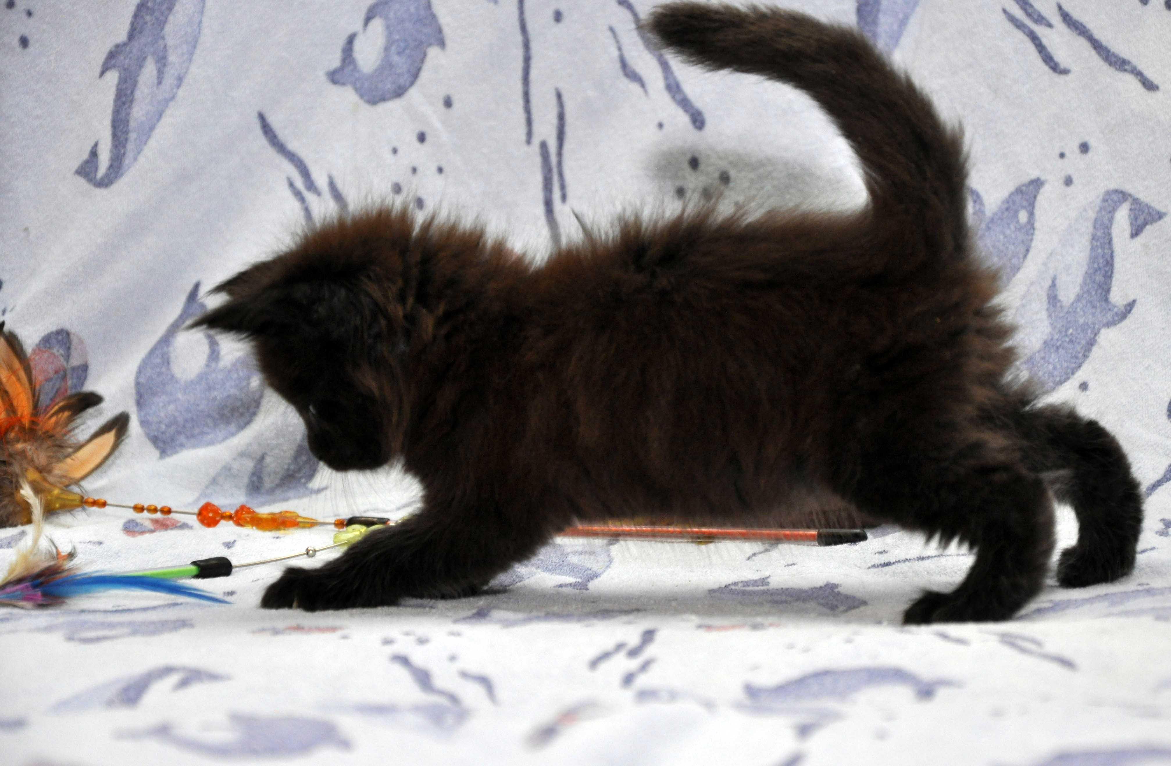 Кот Мейн Кун 3 (male) Eyktan QUAKE фото 8