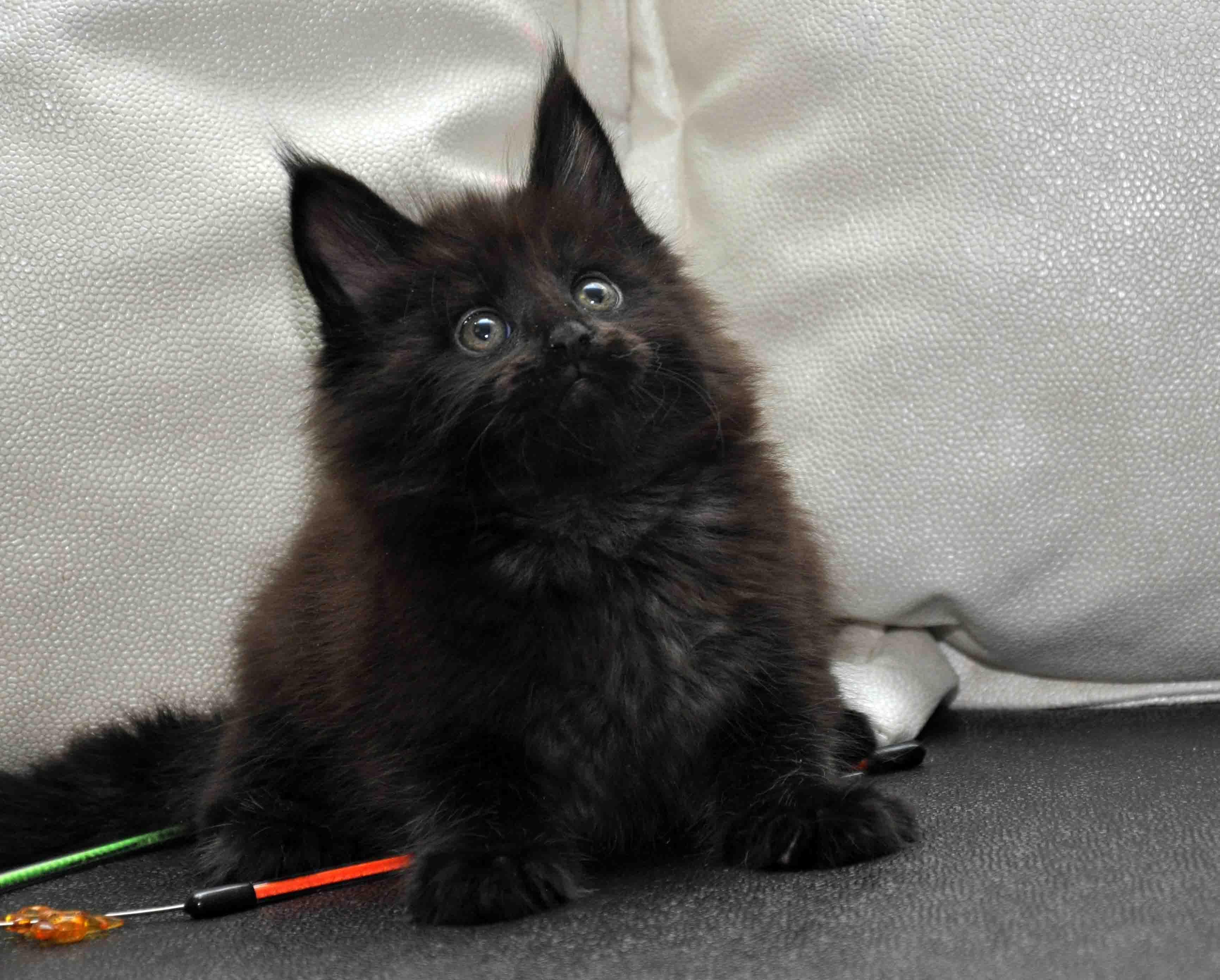 Кот Мейн Кун 4 (male) Eyktan NEMO фото 2