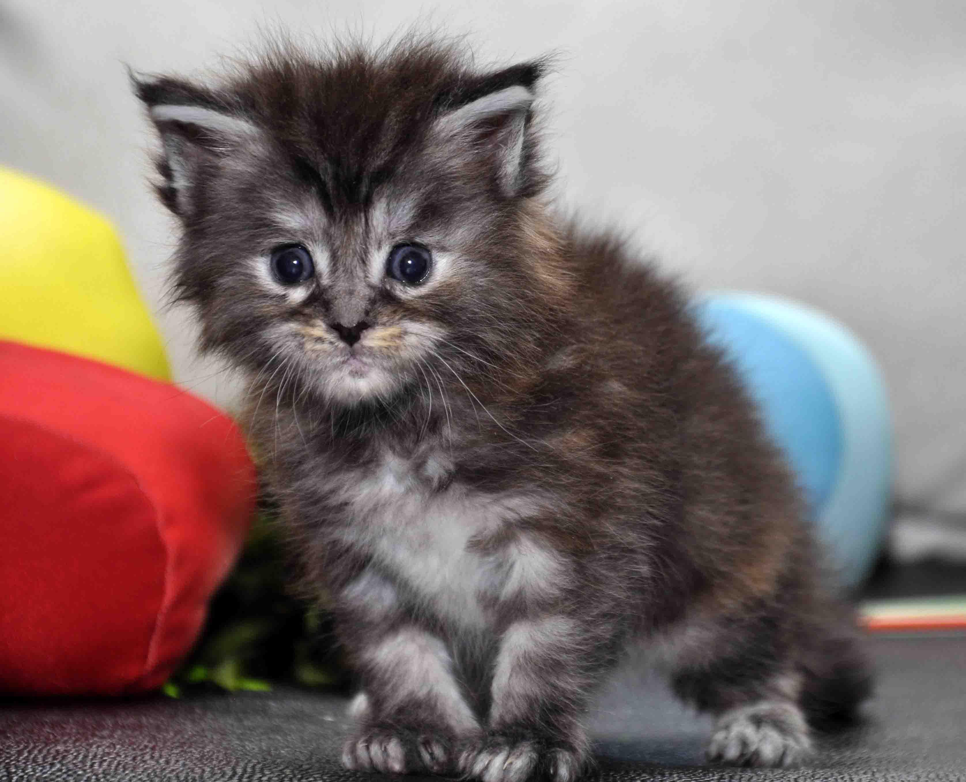 Кошка Мейн Кун female maine coon P 18.11.2017 фото 1