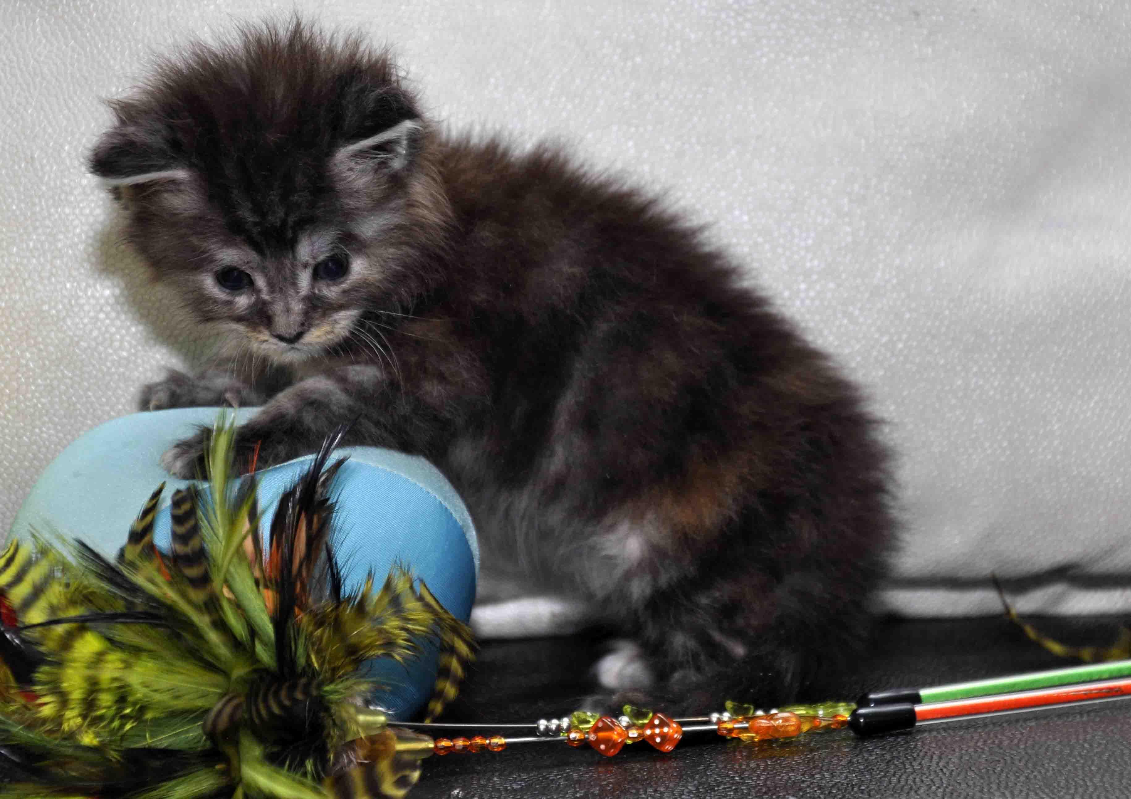 Кошка Мейн Кун female maine coon P 18.11.2017 фото 3