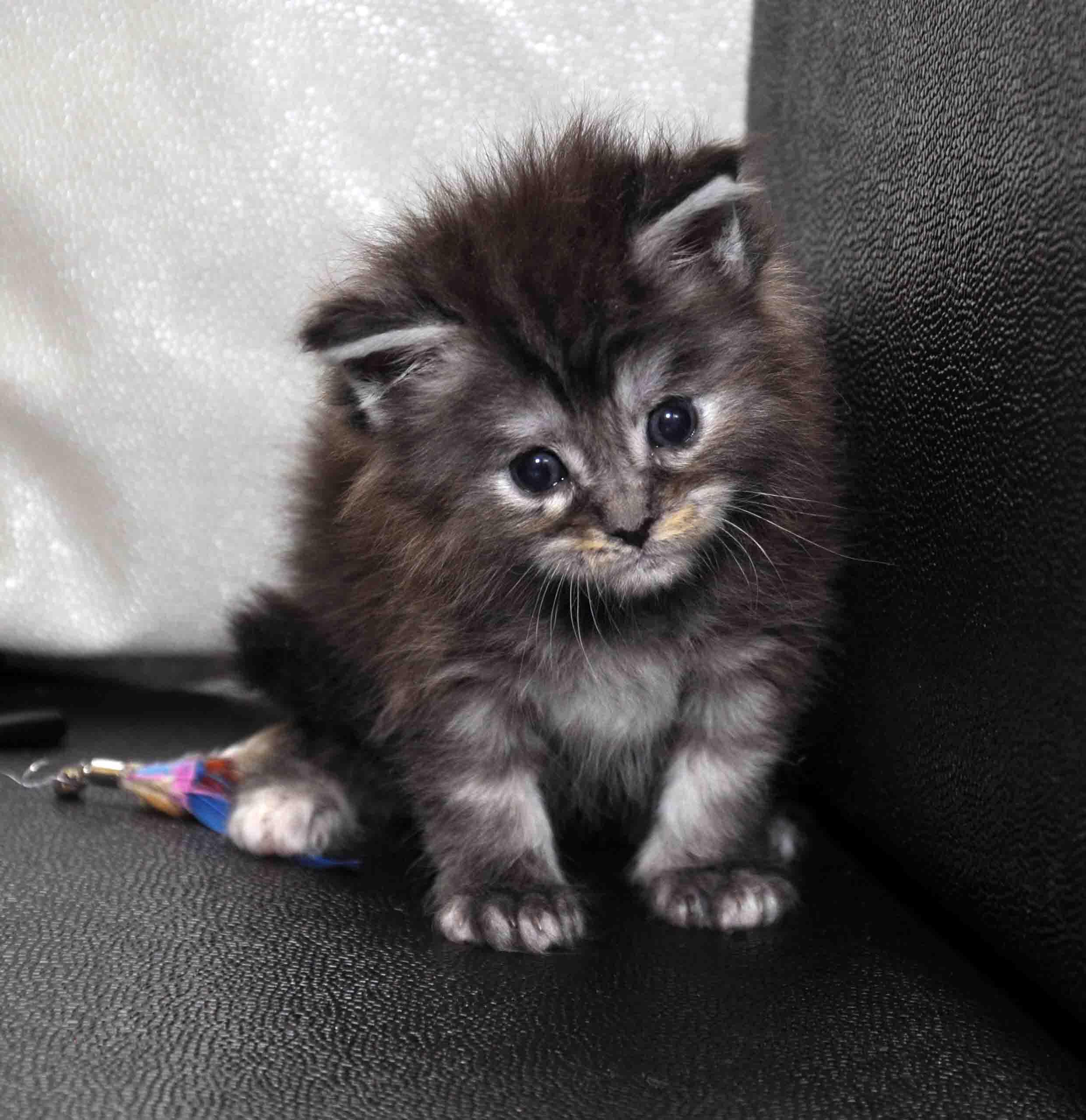 Кошка Мейн Кун female maine coon P 18.11.2017 фото 4