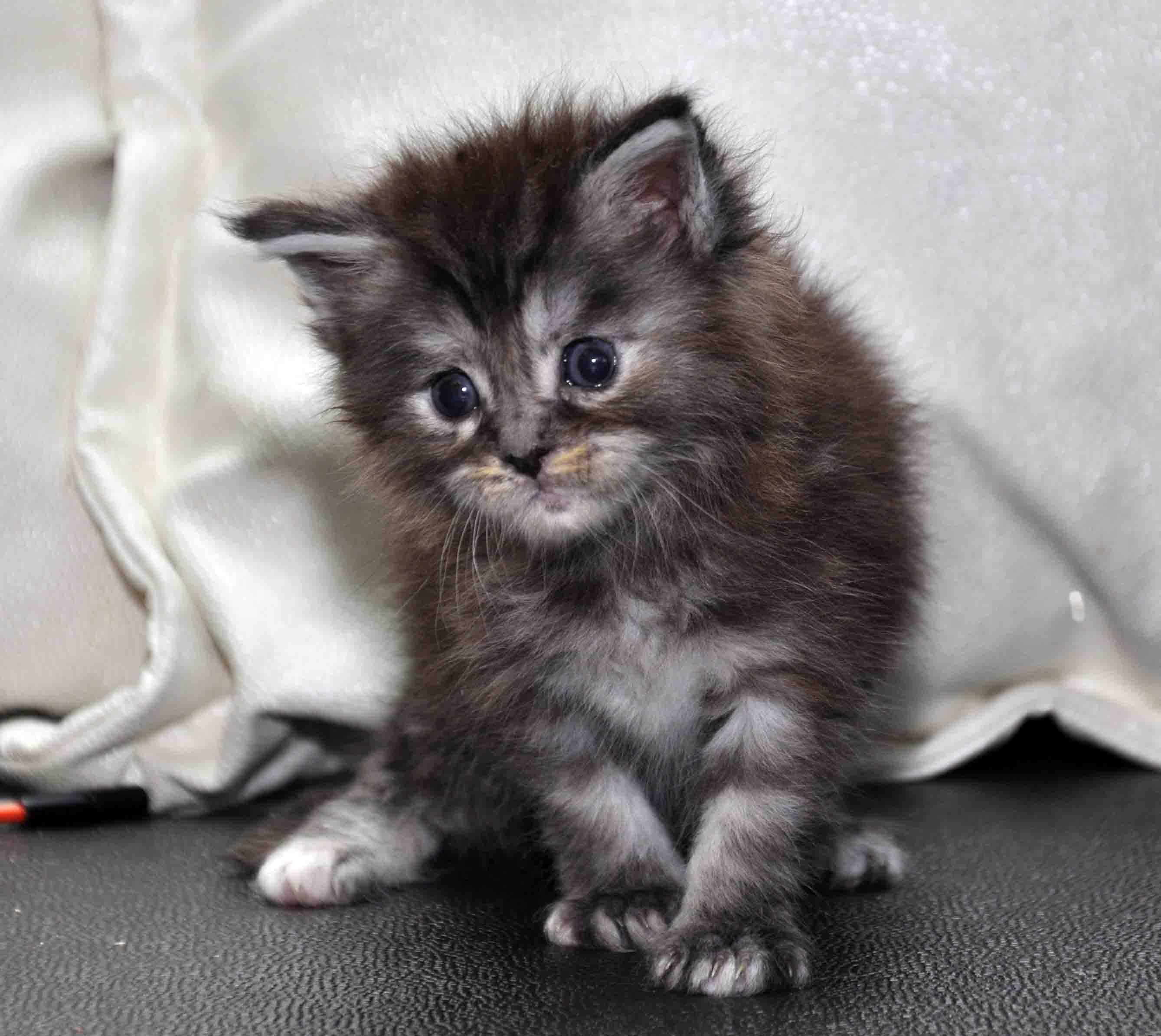 Кошка Мейн Кун female maine coon P 18.11.2017 фото 5