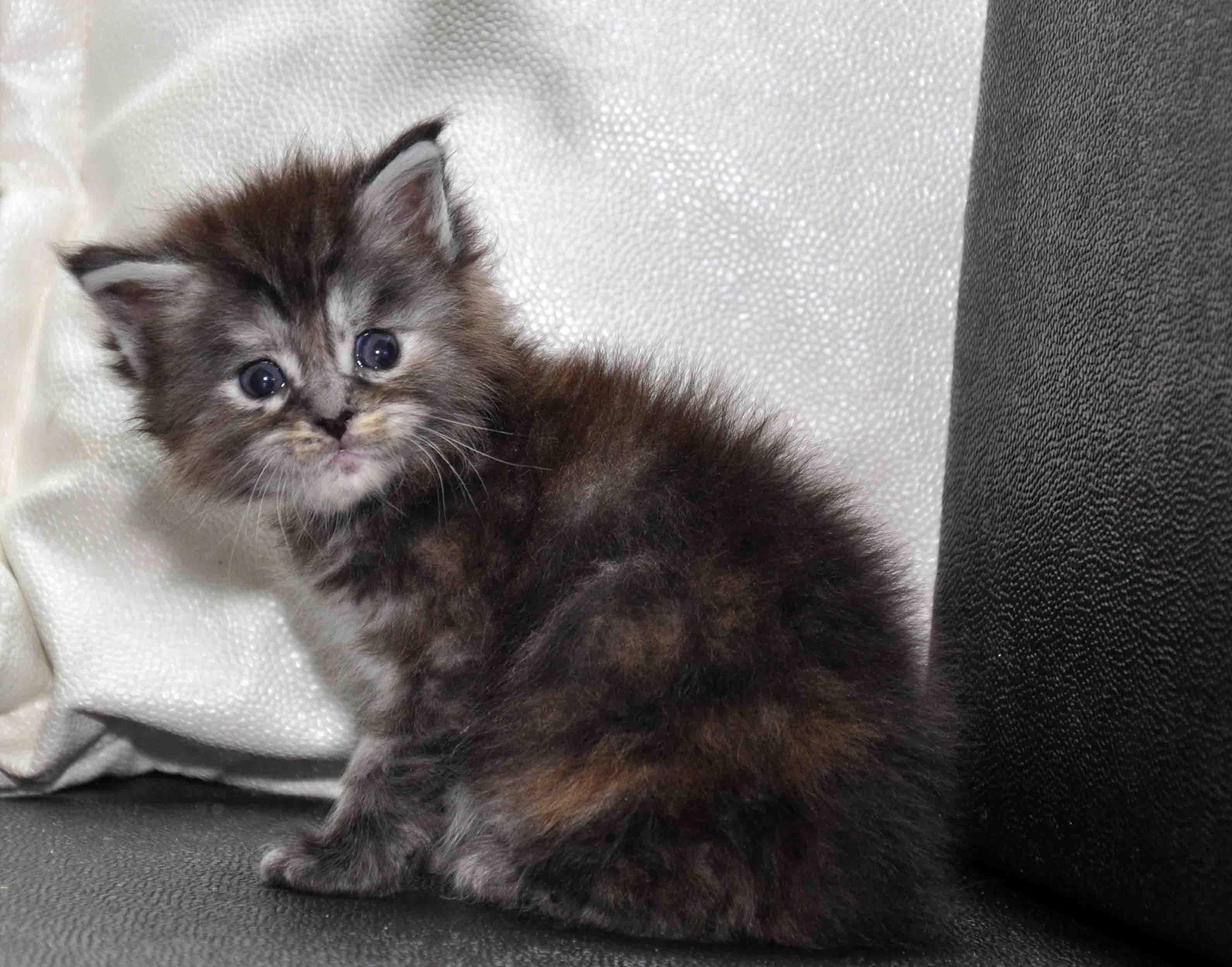 Кошка Мейн Кун female maine coon P 18.11.2017 фото 6