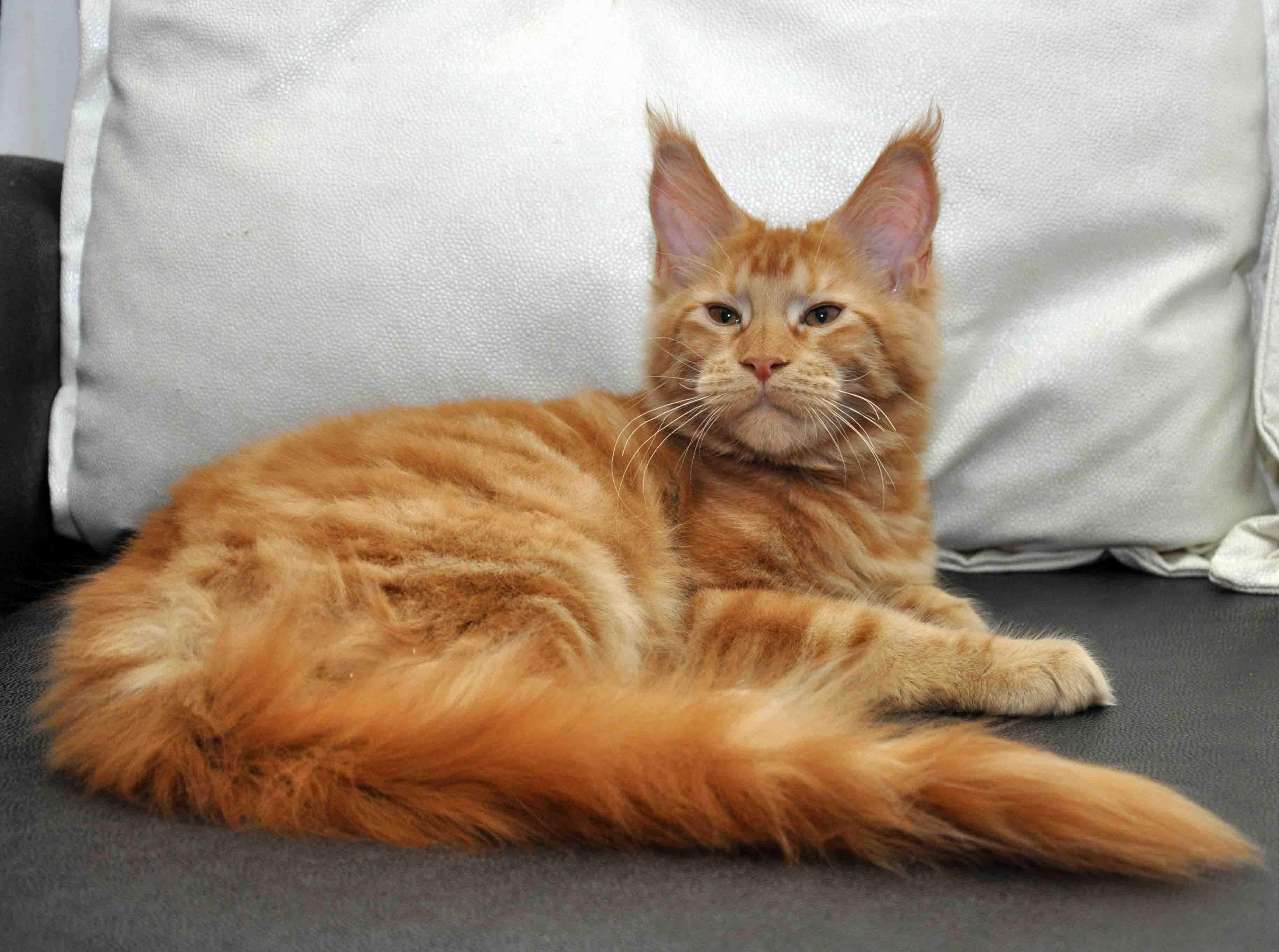 Кошка мейн-кун femaile maine coon Eyktan UNITA HARBOR(NIKA) foto 2