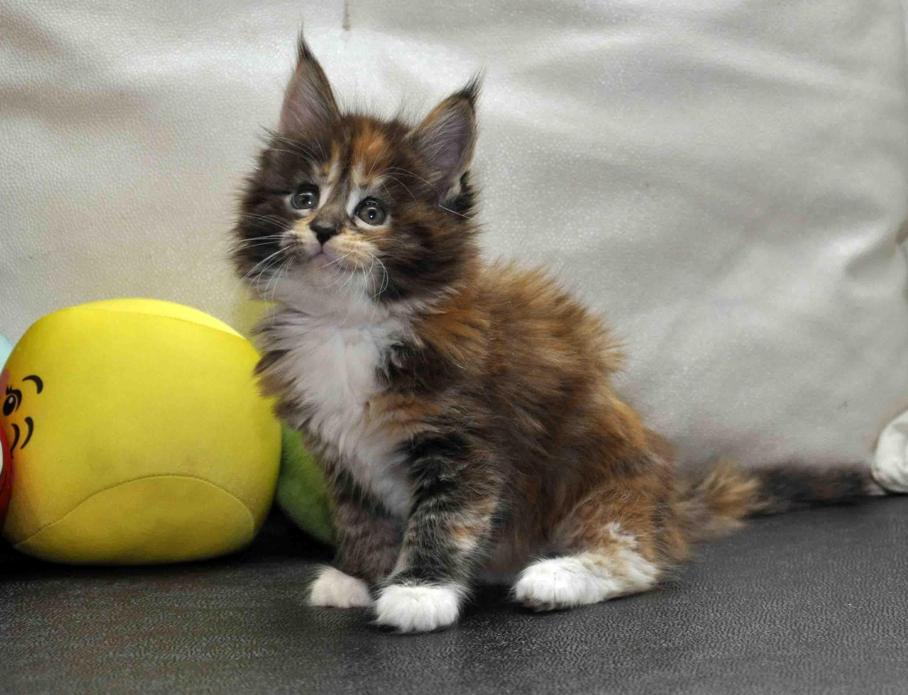 Кошка Мейн Кун/female Eyktan OKINAWA фото 2