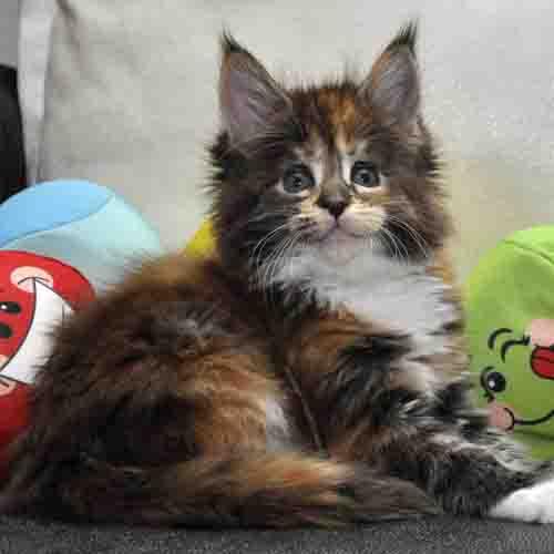 Кошка Мейн Кун 1 (female) Eyktan OKINAWA фото 16