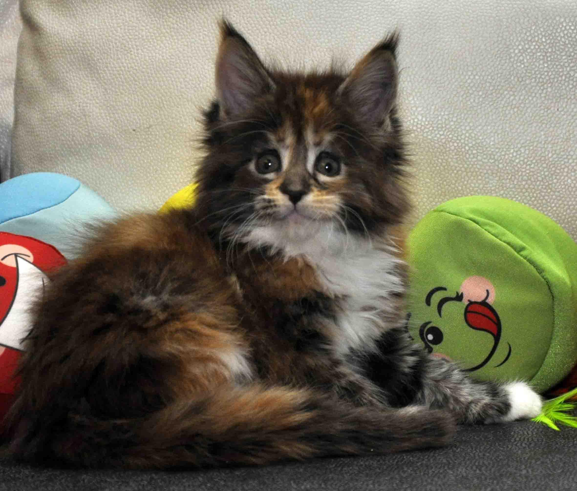 Кошка Мейн Кун/female Eyktan OKINAWA фото 1
