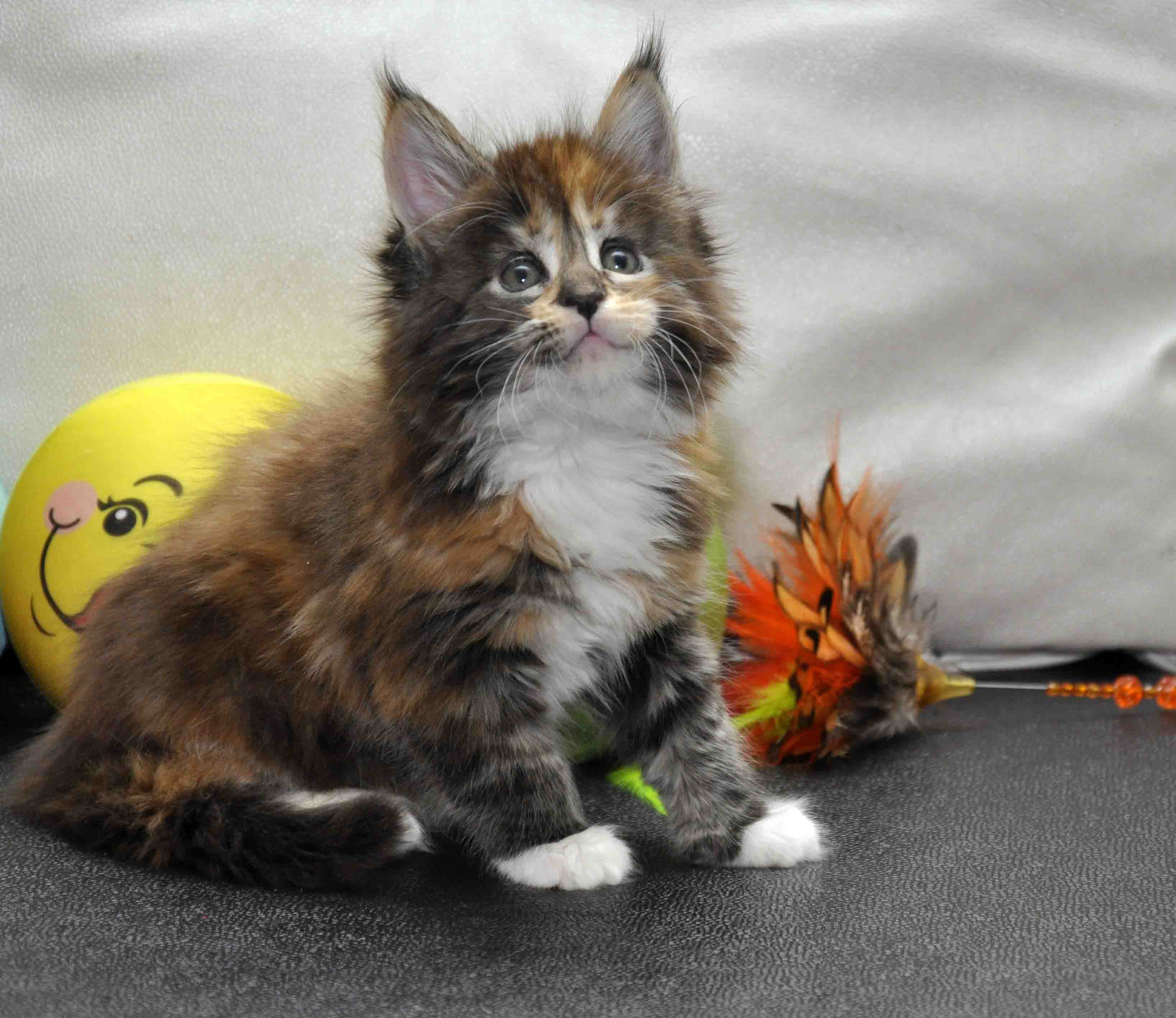Кошка Мейн Кун/female Eyktan OKINAWA фото 3