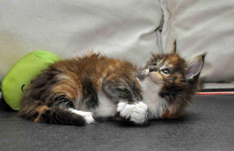 Кошка Мейн Кун/female Eyktan OKINAWA фото 4