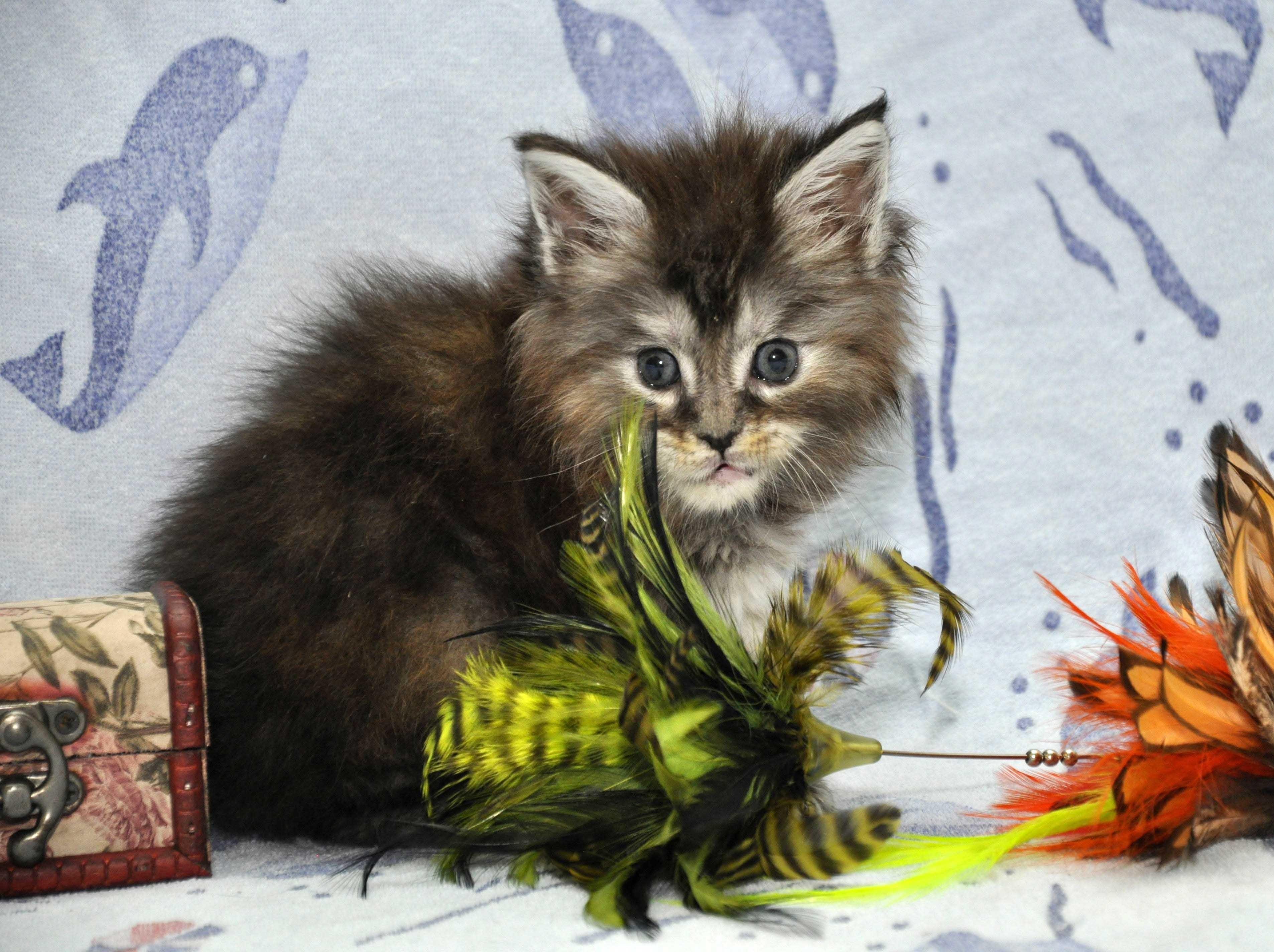 18.11.2017 г.Кошка Мейн Кун 1 female Eyktan P 24122017 foto 3