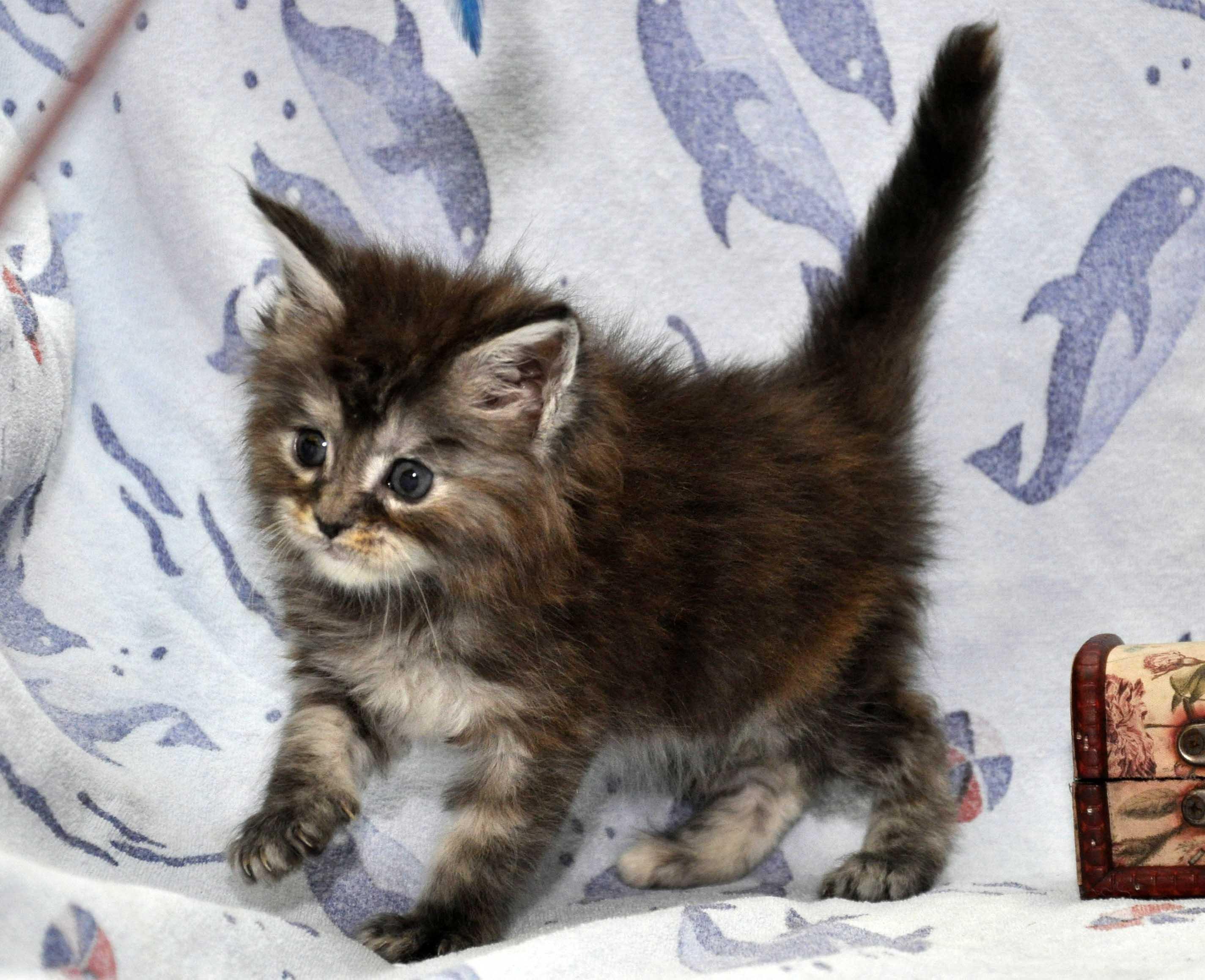 18.11.2017 г.Кошка Мейн Кун 1 female Eyktan P 24122017 foto 4