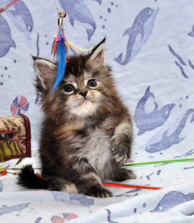 18.11.2017 г.Кошка Мейн Кун 1 female Eyktan P 24122017 foto 5