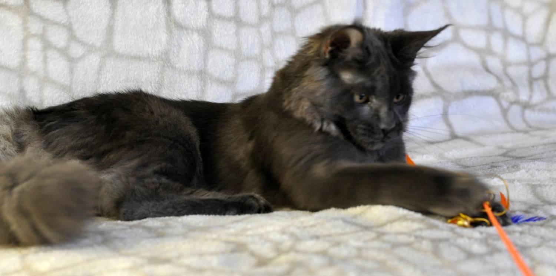 Кошка Мейн Кун / female maine coon HAVANNA