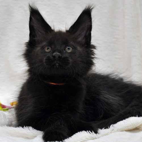 Кот Мейн Кун 2 (male) Eyktan QUANTUM фото