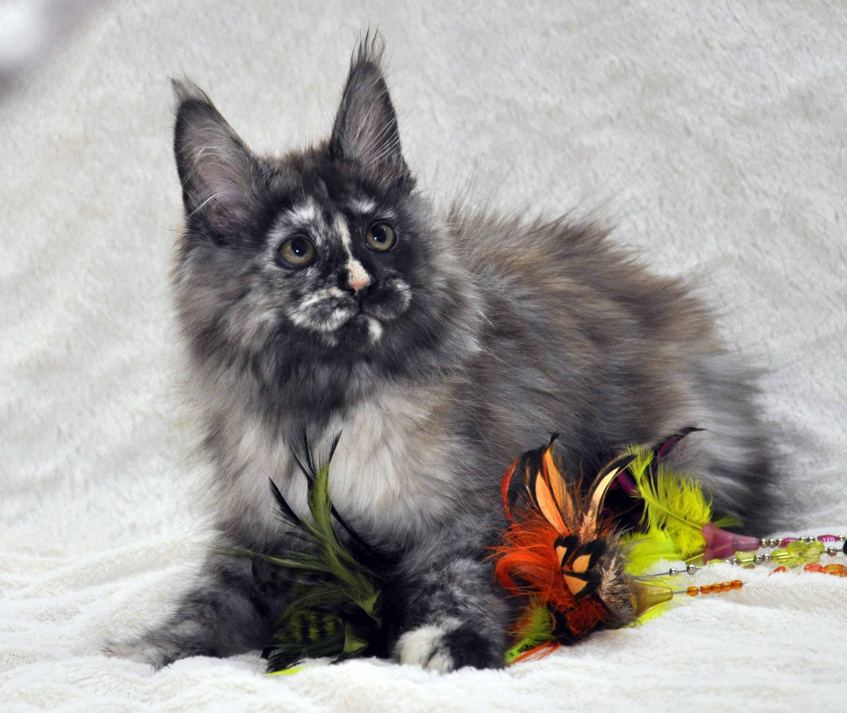 Кошка Мейн Кун 1 (female) Eyktan NAOMI foto 1