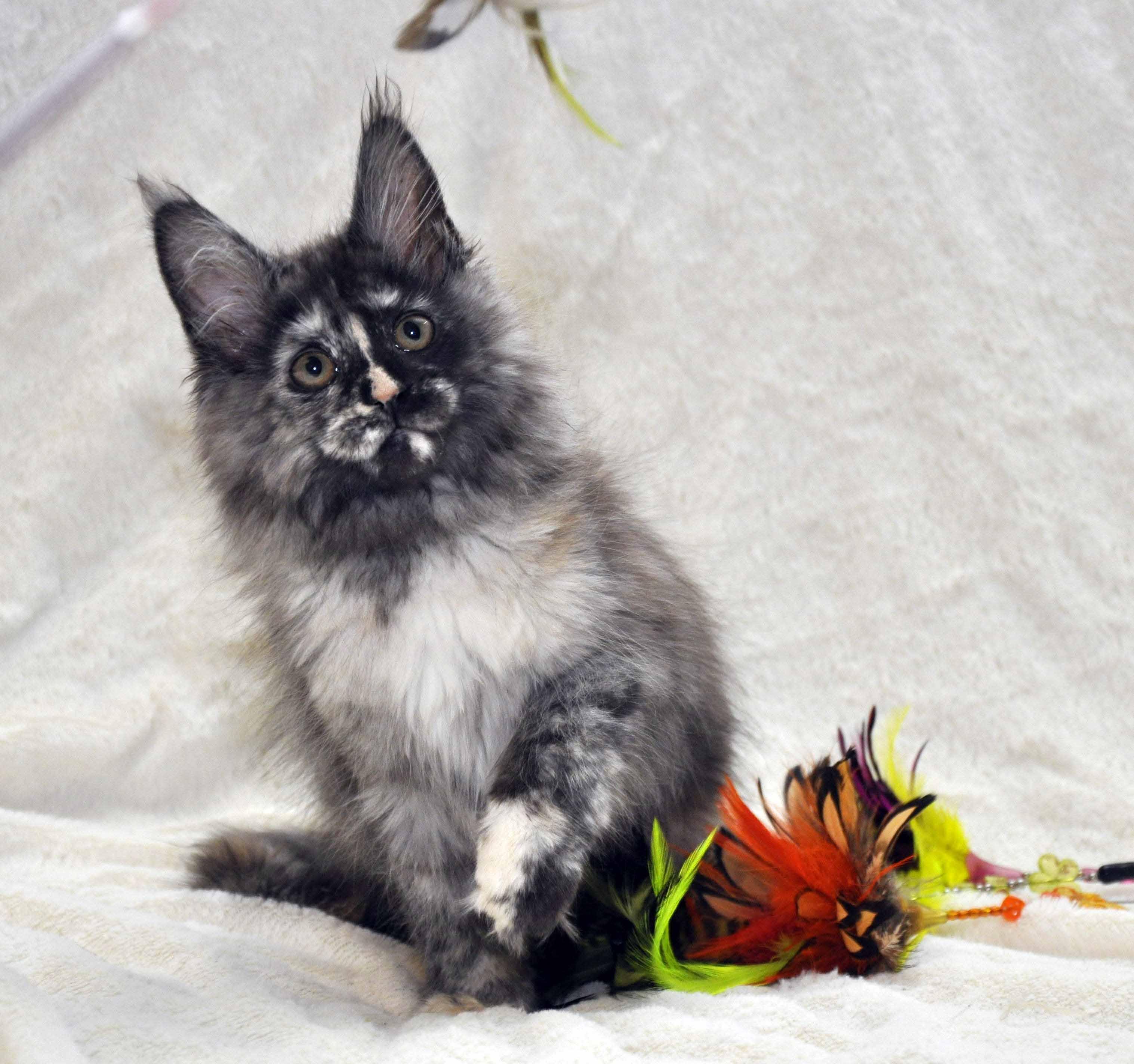 Кошка Мейн Кун 1 (female) Eyktan NAOMI foto 2