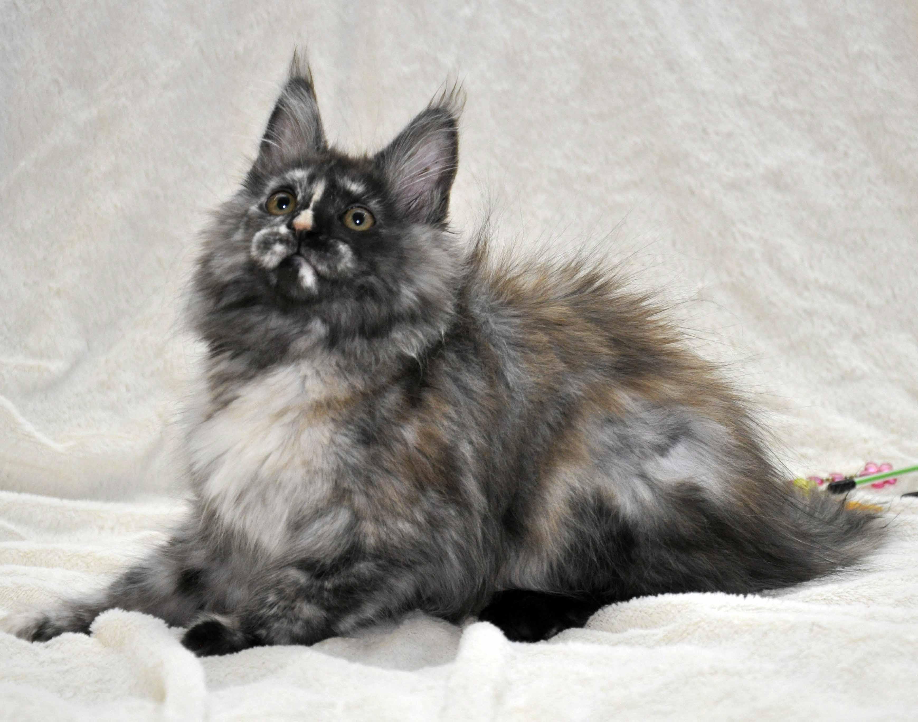 Кошка Мейн Кун 1 (female) Eyktan NAOMI foto 3