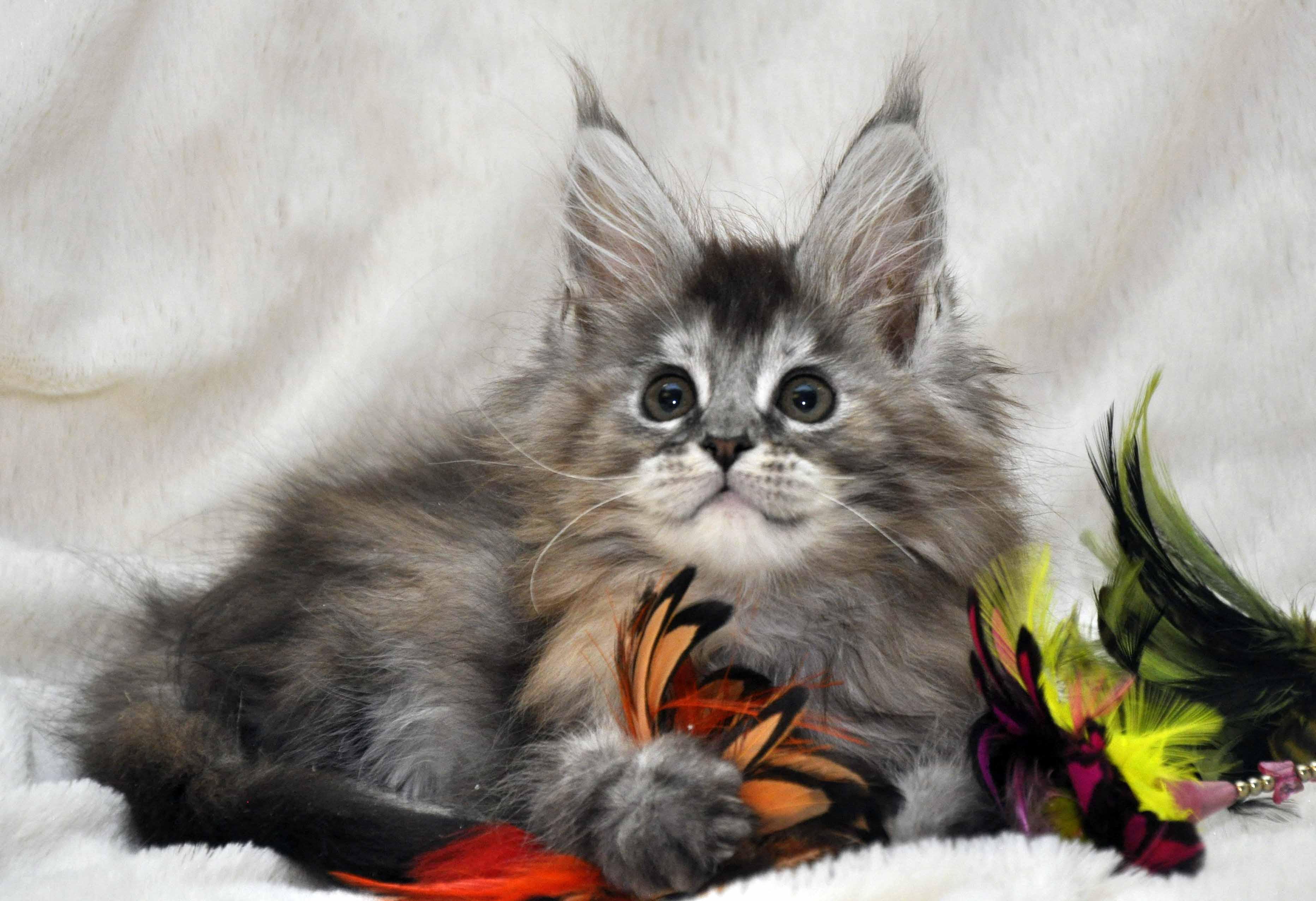 Кошка Мейн Кун  (female) Eyktan PRADA фото 1