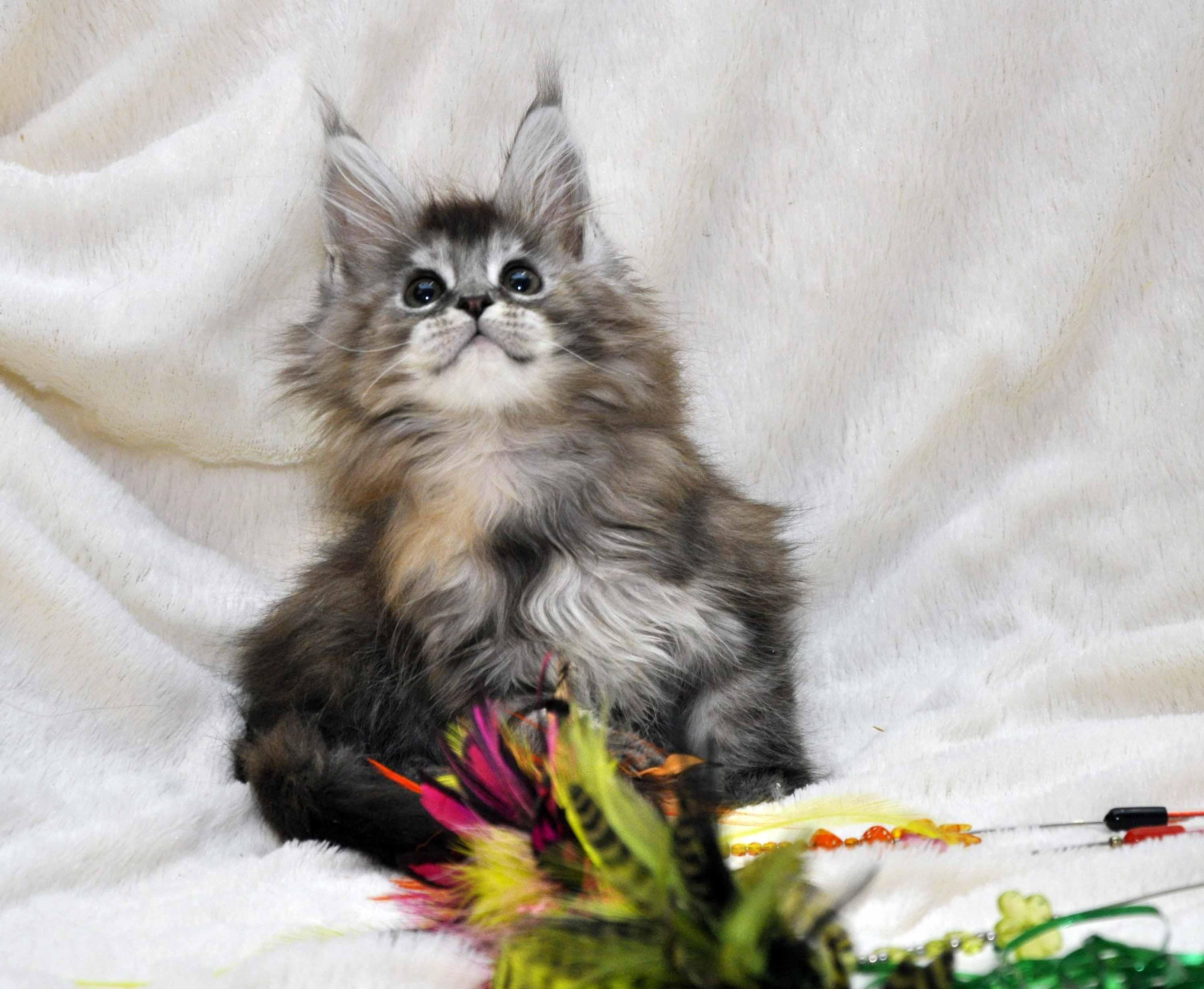 Кошка Мейн Кун  (female) Eyktan PRADA фото 2