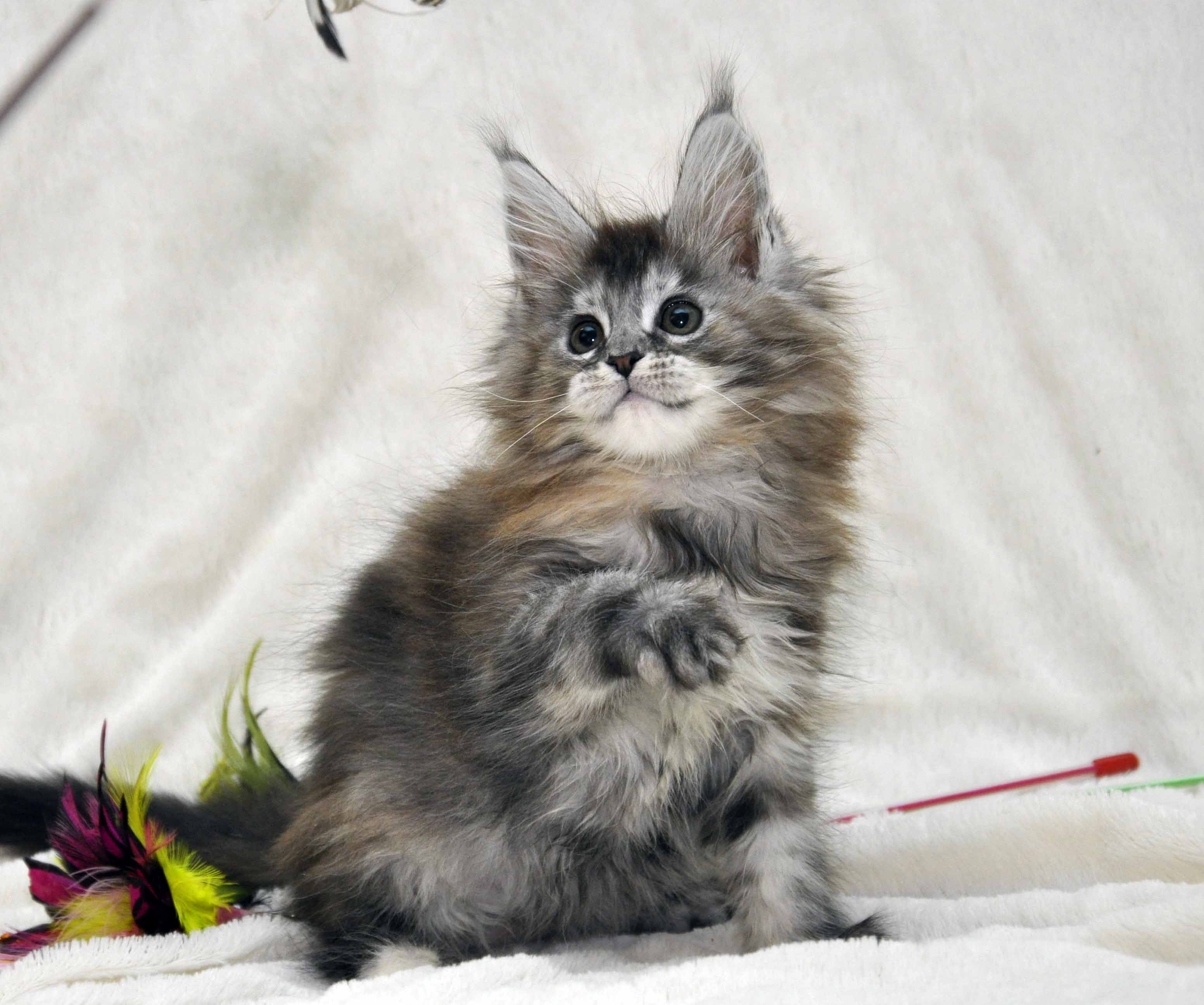 Кошка Мейн Кун  (female) Eyktan PRADA фото 3