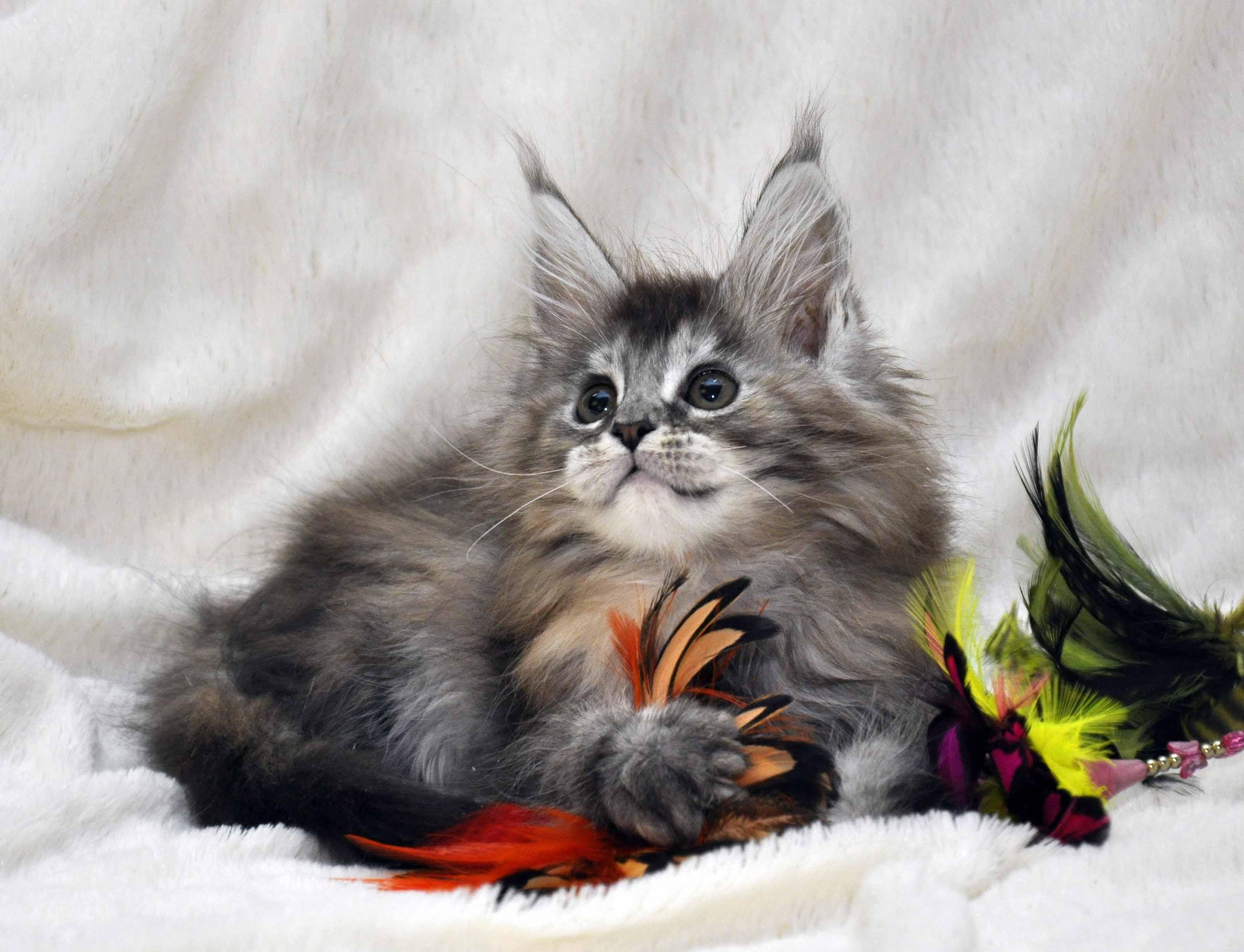 Кошка Мейн Кун  (female) Eyktan PRADA фото 4