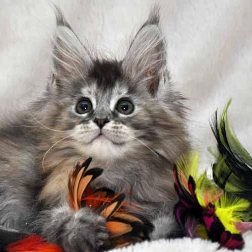 Кошка Мейн Кун (female) Eyktan PRADA фото