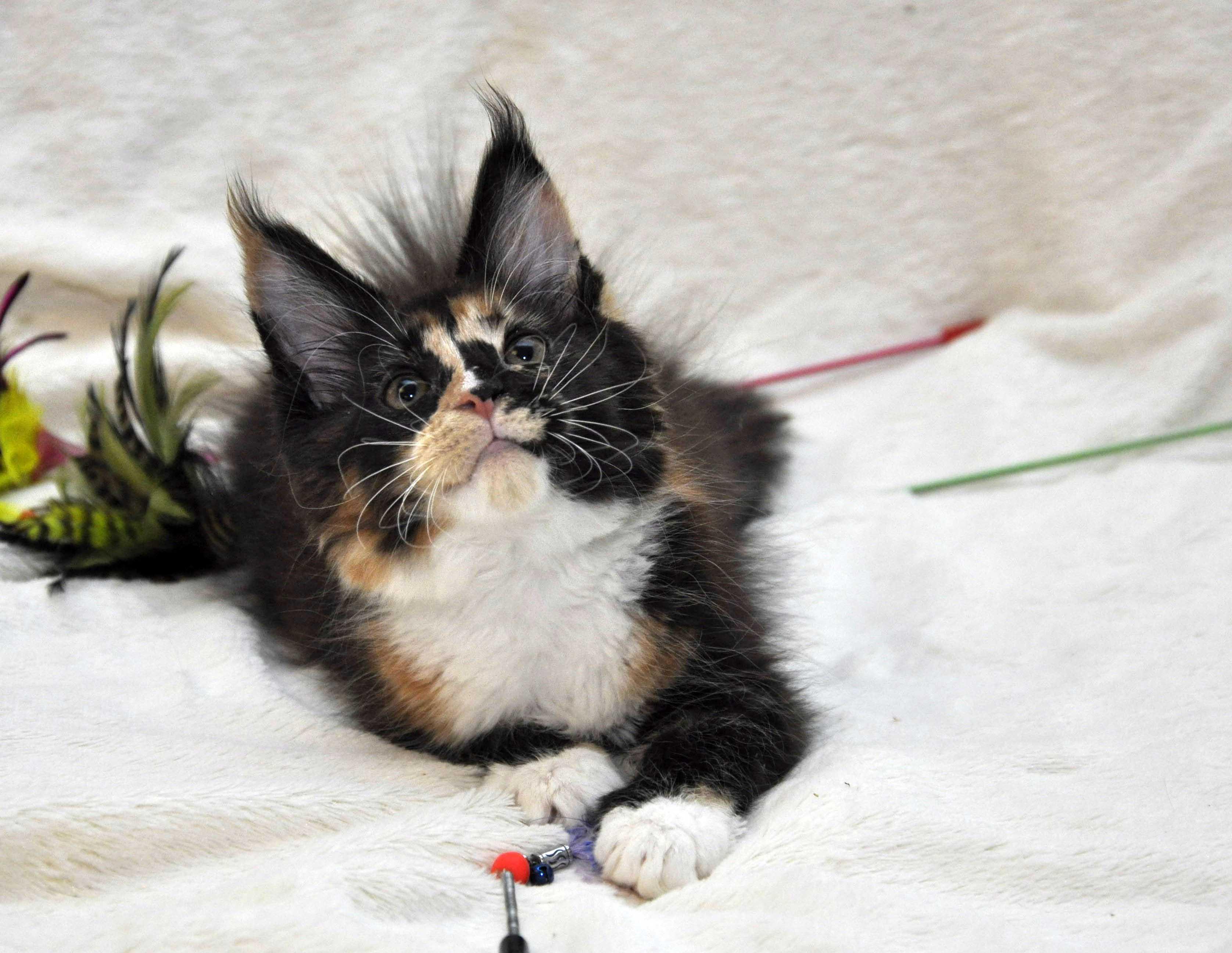 Кошка  3 Мейн Кун female maine coon Eyktan RIPLEY SHOW фото 1
