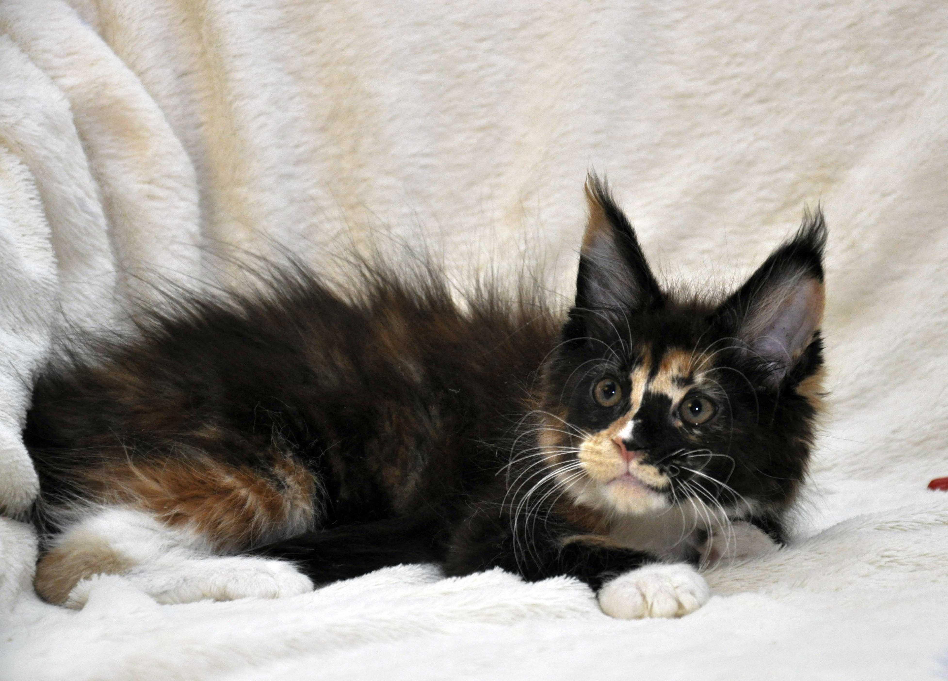 Кошка  3 Мейн Кун female maine coon Eyktan RIPLEY SHOW фото 2