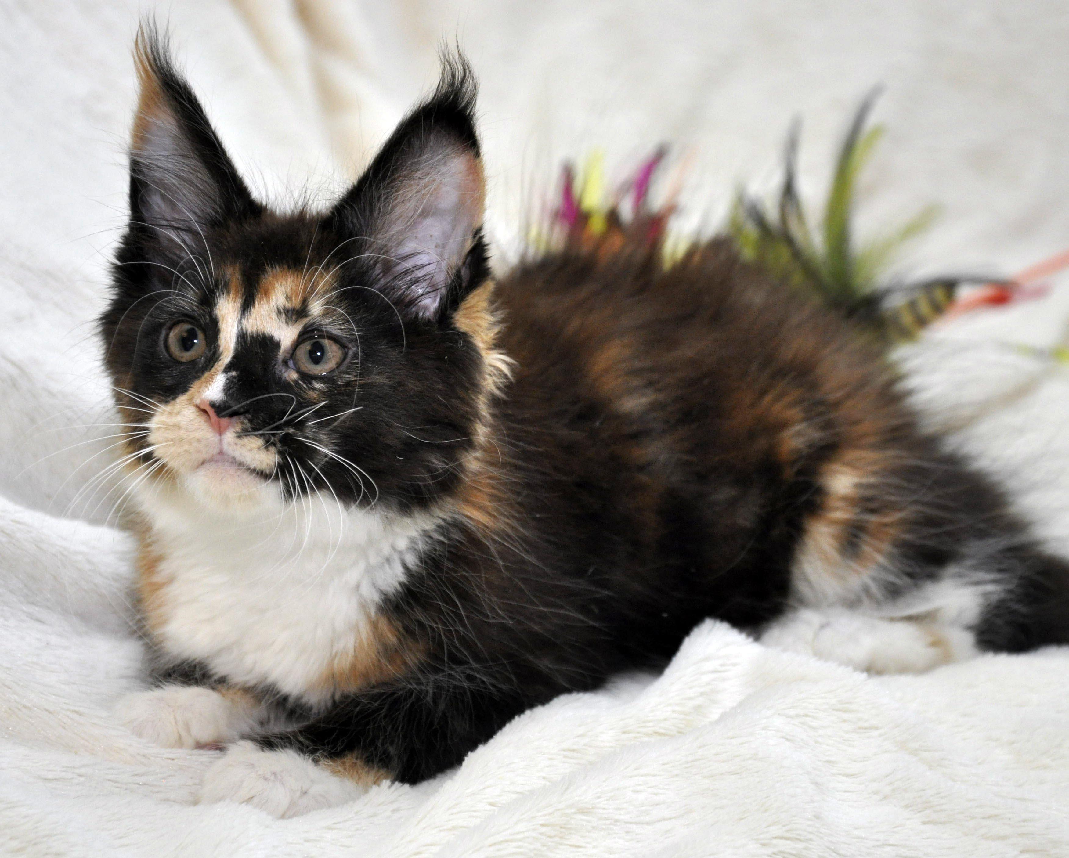Кошка  3 Мейн Кун female maine coon Eyktan RIPLEY SHOW фото 3
