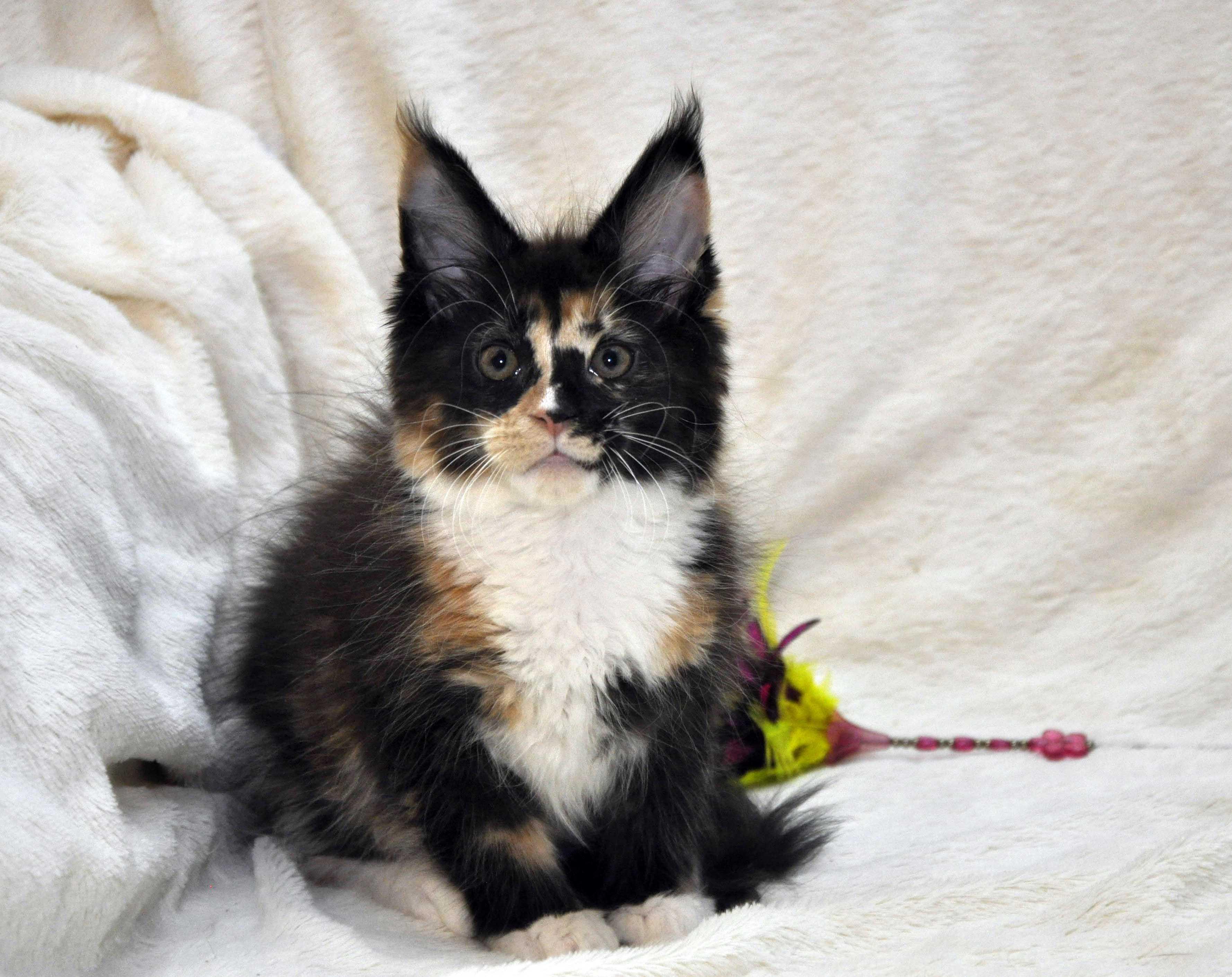 Кошка  3 Мейн Кун female maine coon Eyktan RIPLEY SHOW фото 4