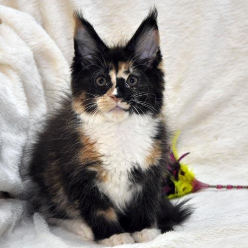 Кошка 3 Мейн Кун female maine coon Eyktan RIPLEY SHOW фото