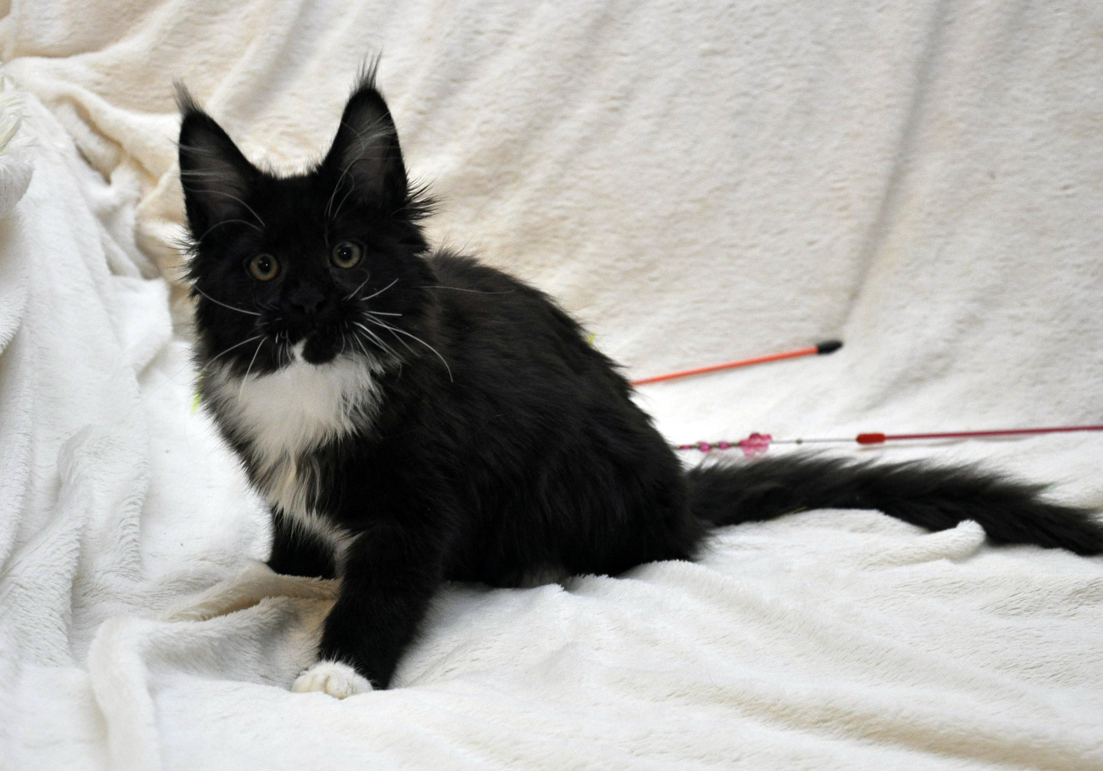 Кошка Мейн Кун 1 (female) Eyktan SANTA фото 1