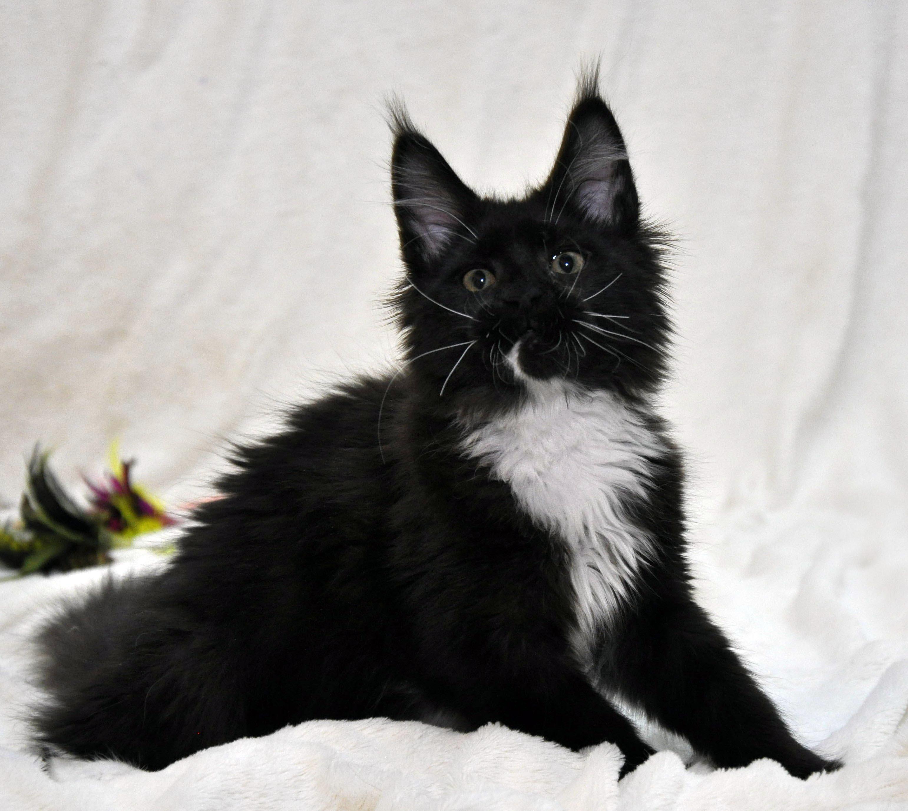 Кошка Мейн Кун 1 (female) Eyktan SANTA фото 1_1