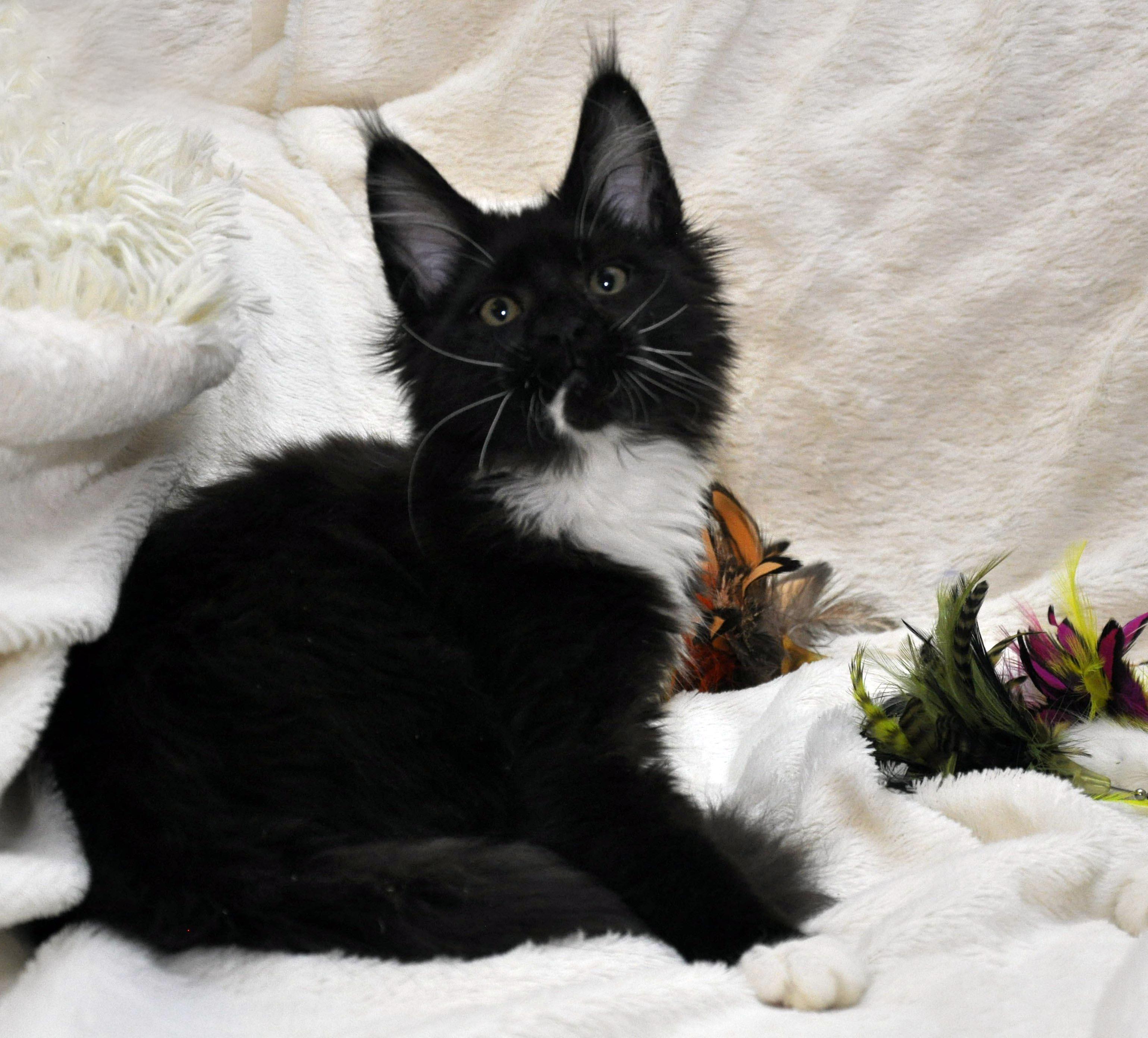 Кошка Мейн Кун 1 (female) Eyktan SANTA фото 2