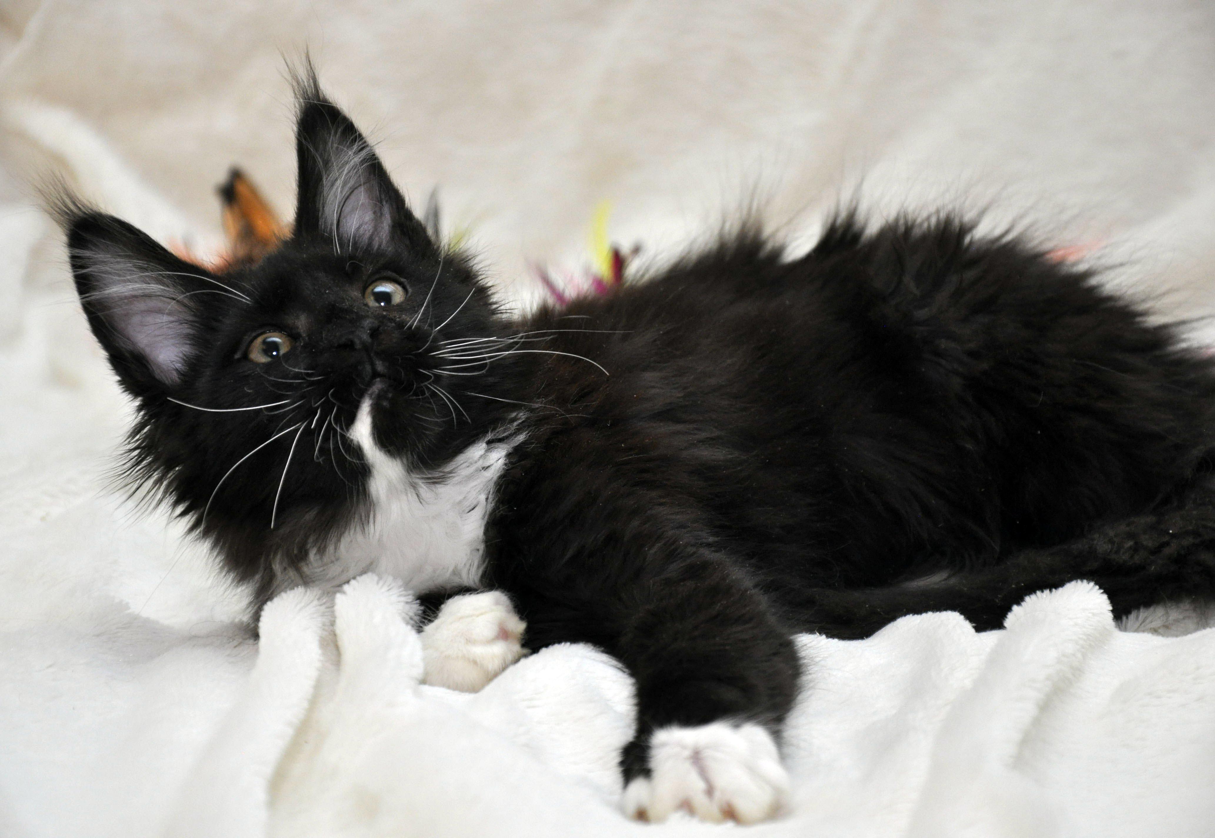 Кошка Мейн Кун 1 (female) Eyktan SANTA фото 3