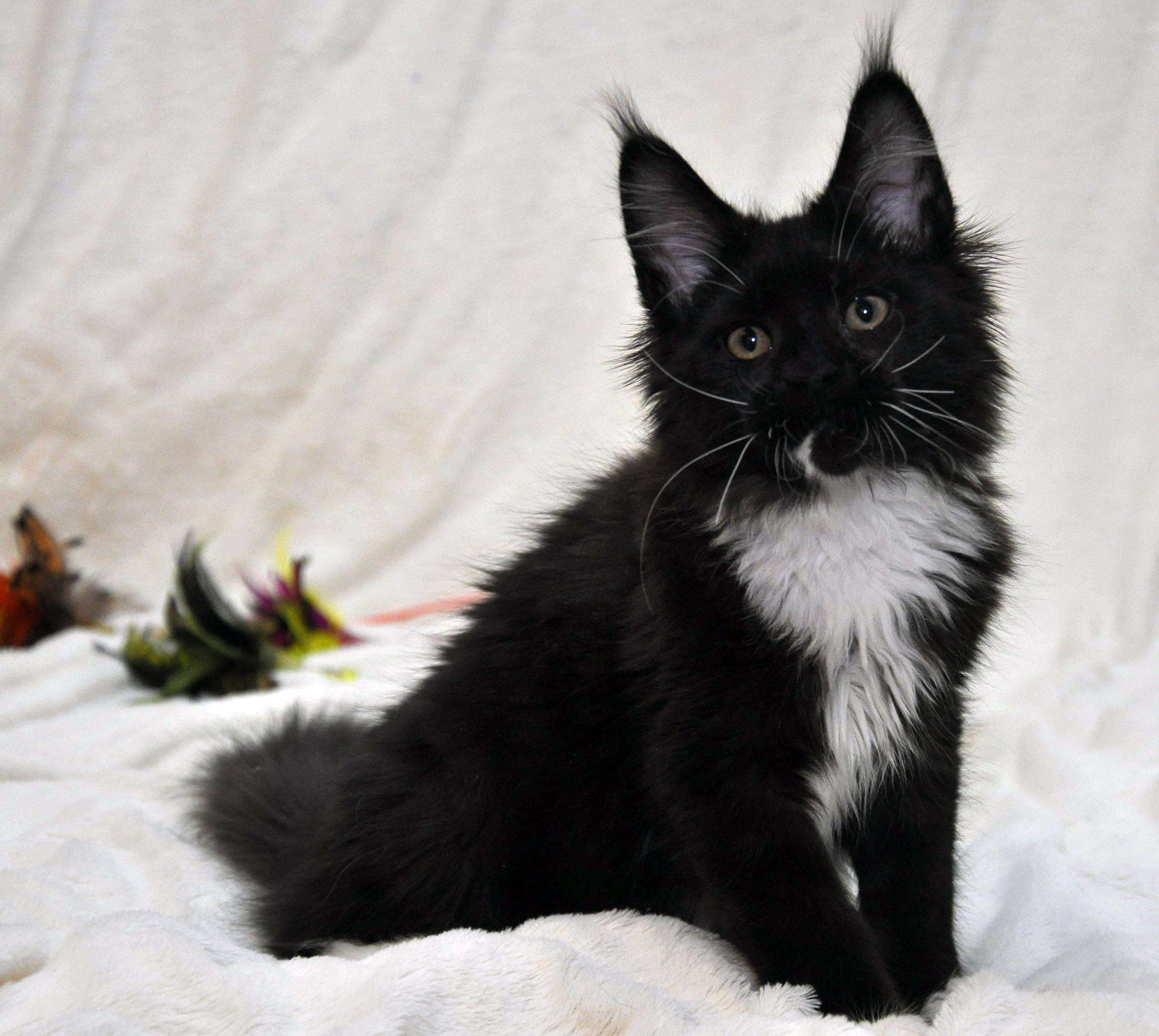 Кошка Мейн Кун 1 (female) Eyktan SANTA фото 4