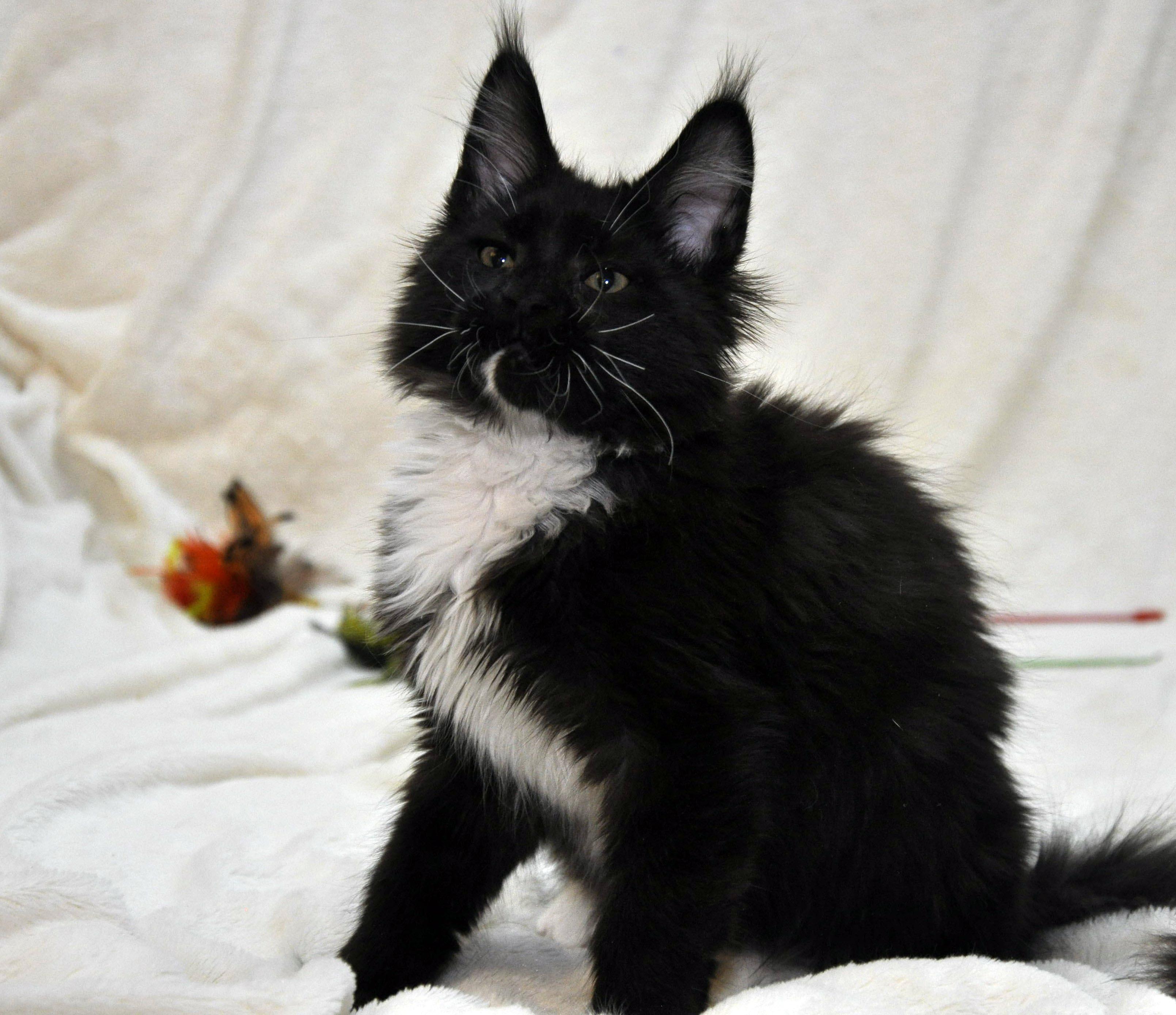 Кошка Мейн Кун 1 (female) Eyktan SANTA фото 5