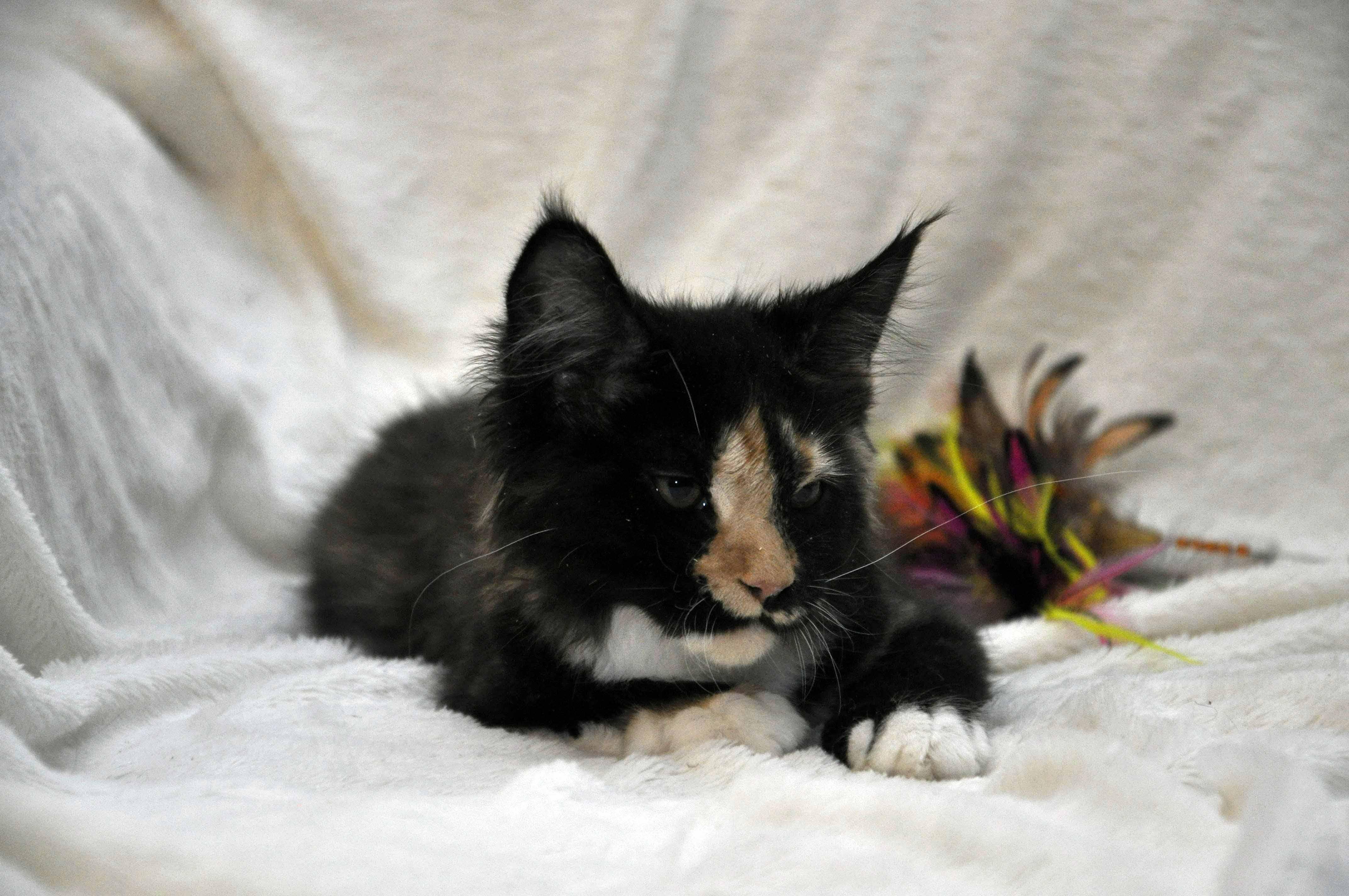 Кошка Мейн Кун 2 (female) Eyktan STELLA фото 1