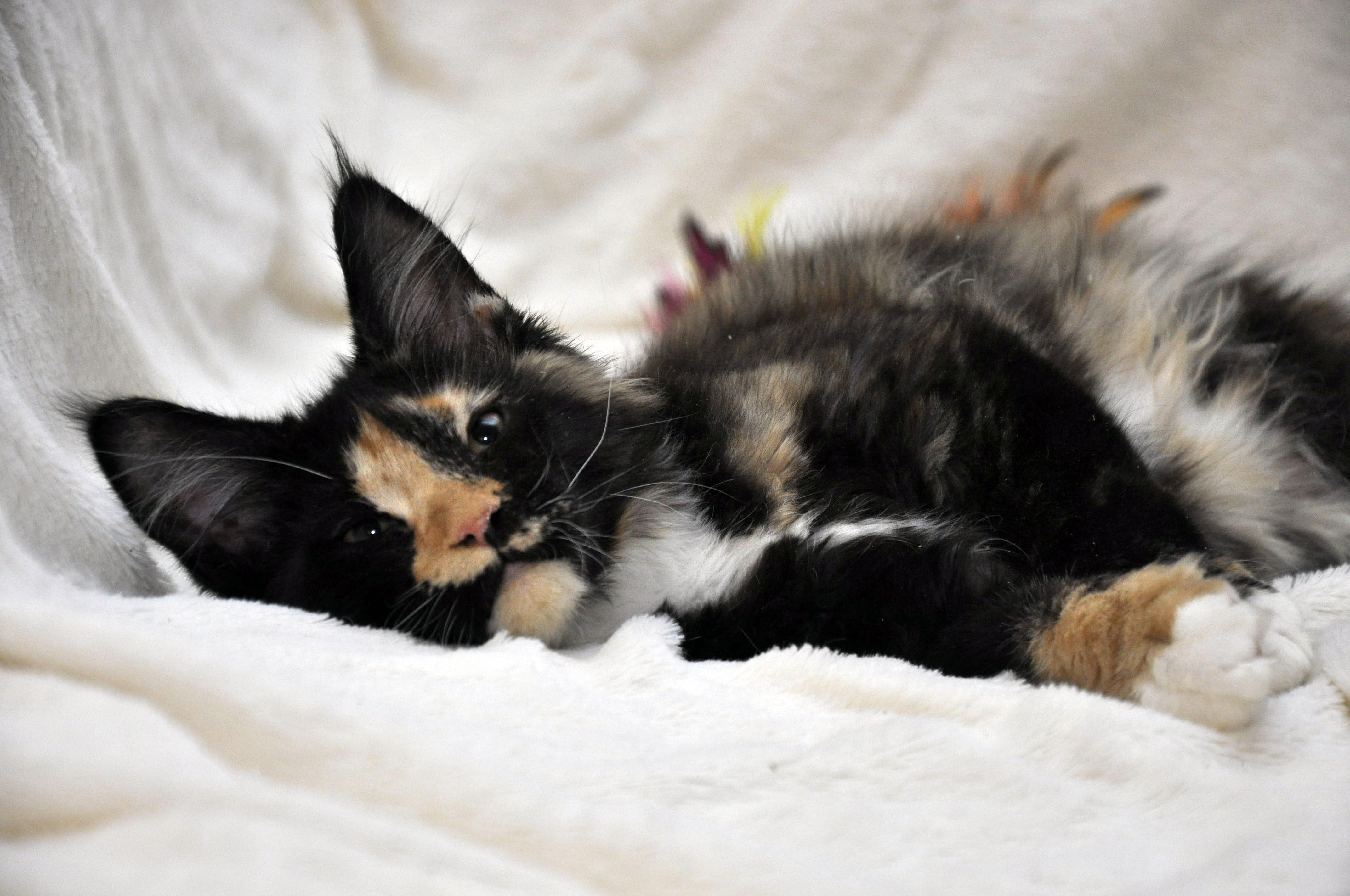 Кошка Мейн Кун 2 (female) Eyktan STELLA фото 2