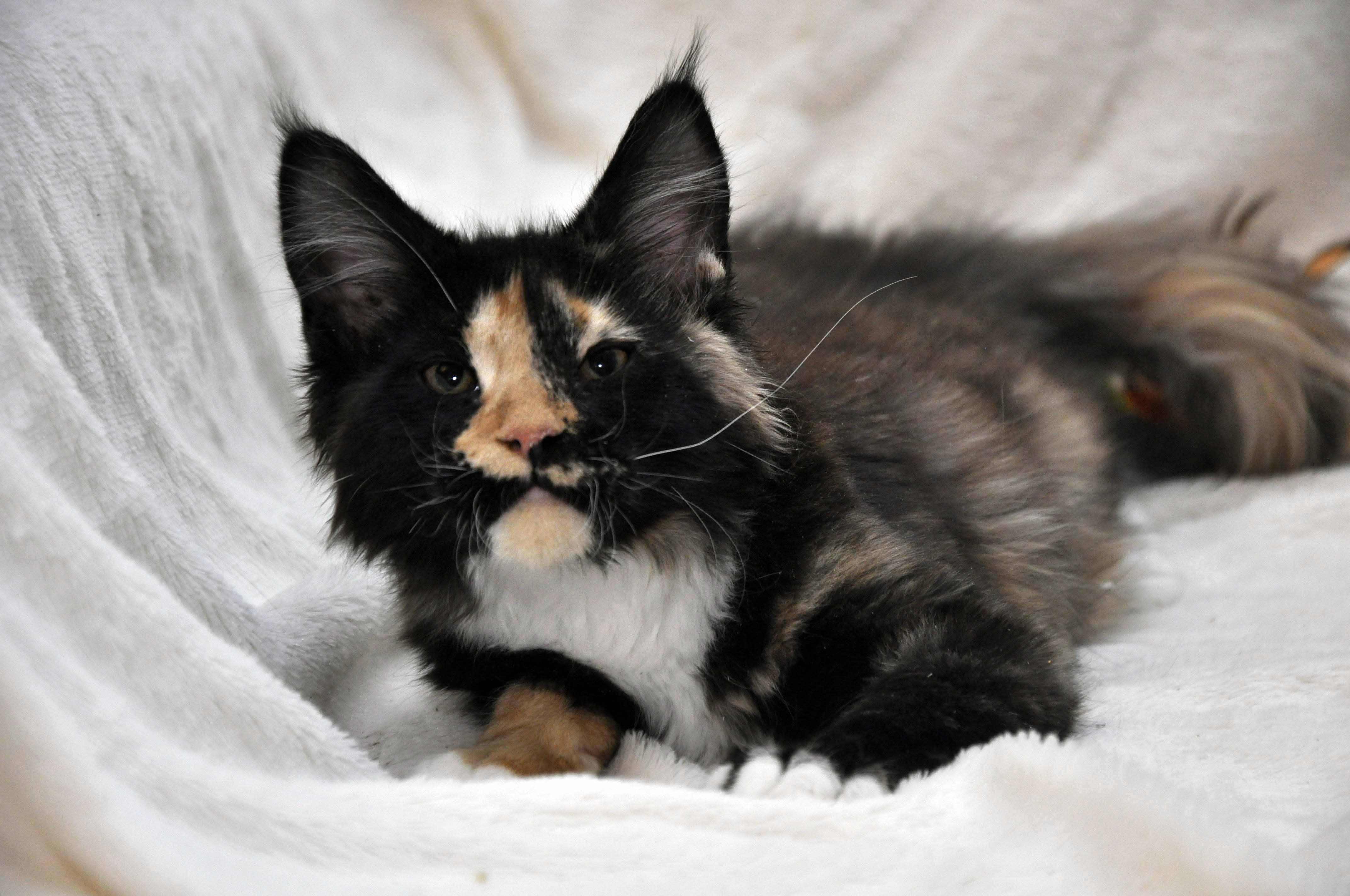 Кошка Мейн Кун 2 (female) Eyktan STELLA фото